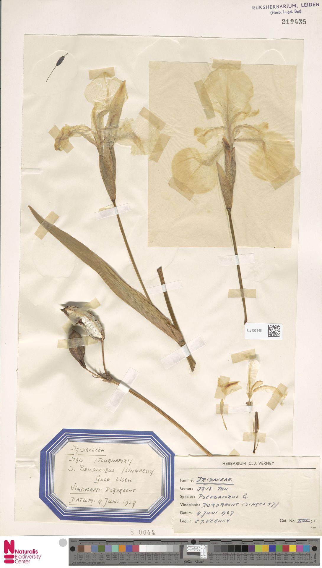 L.3153145 | Iris pseudacorus L.