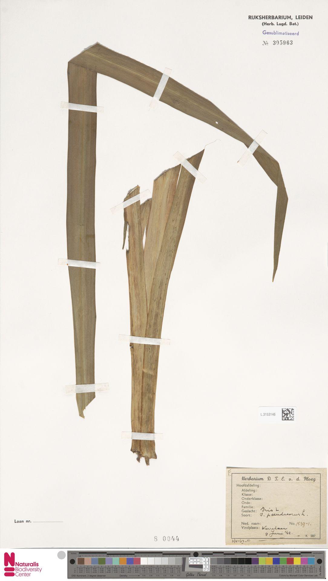L.3153146 | Iris pseudacorus L.
