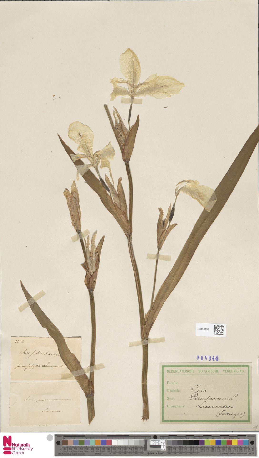 L.3153154 | Iris pseudacorus L.