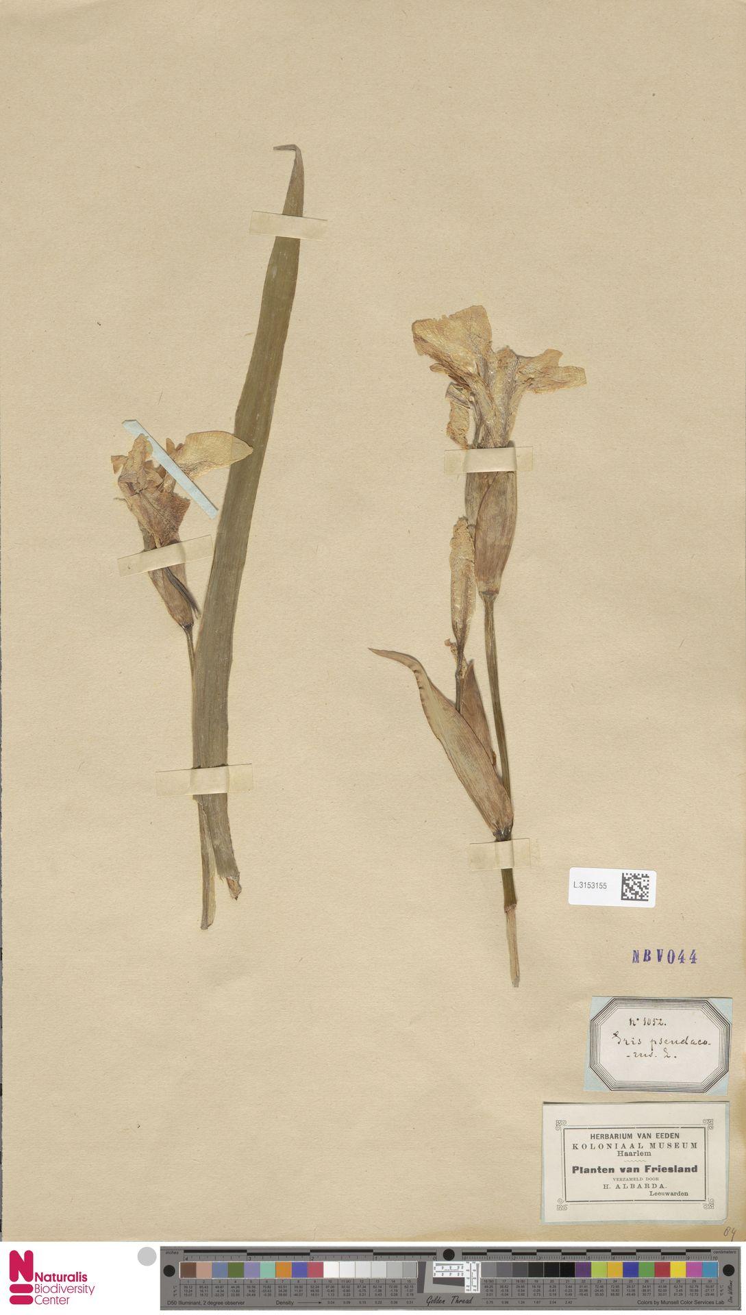 L.3153155 | Iris pseudacorus L.