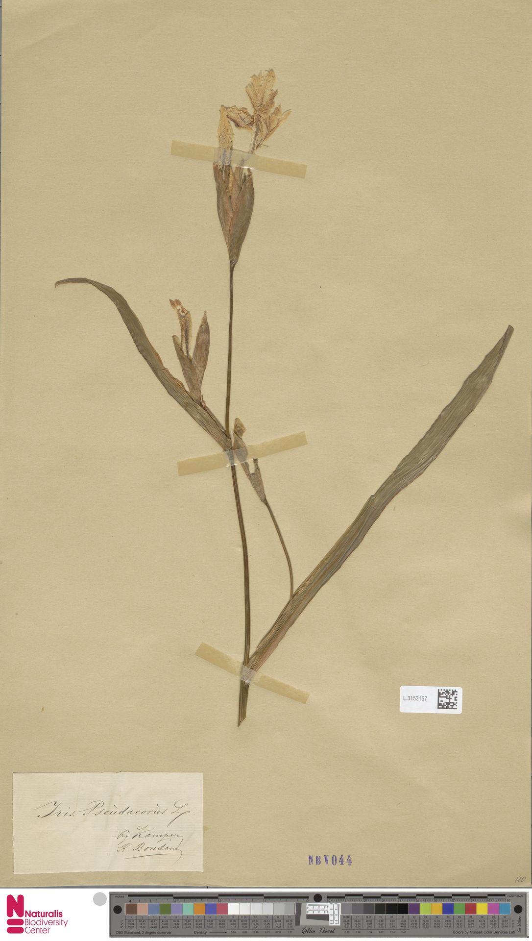 L.3153157 | Iris pseudacorus L.