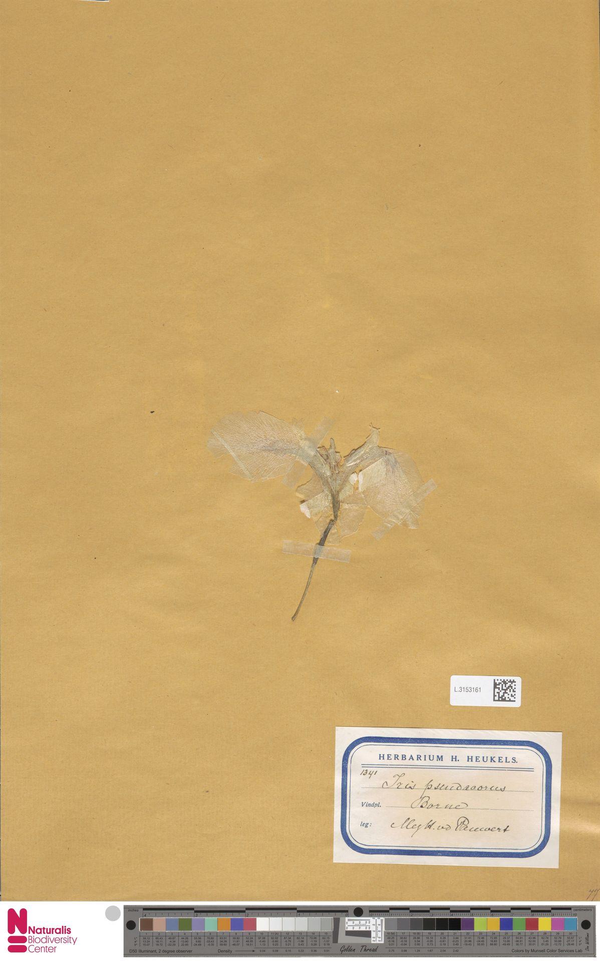 L.3153161 | Iris pseudacorus L.