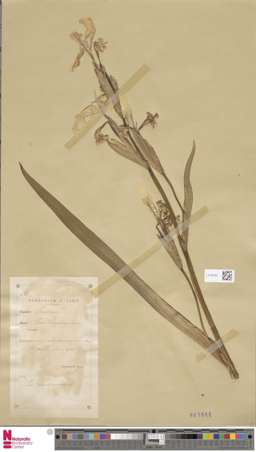 L.3153162 | Iris pseudacorus L.