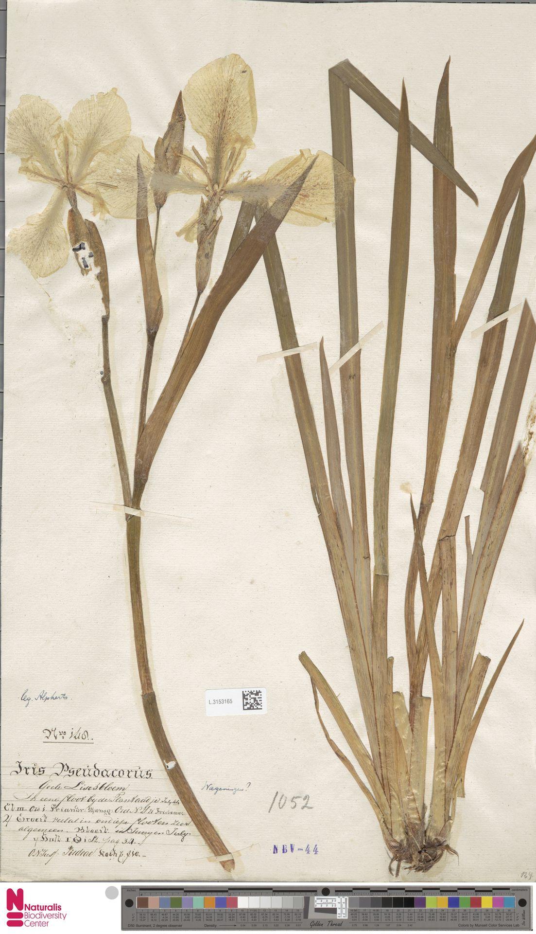 L.3153165 | Iris pseudacorus L.