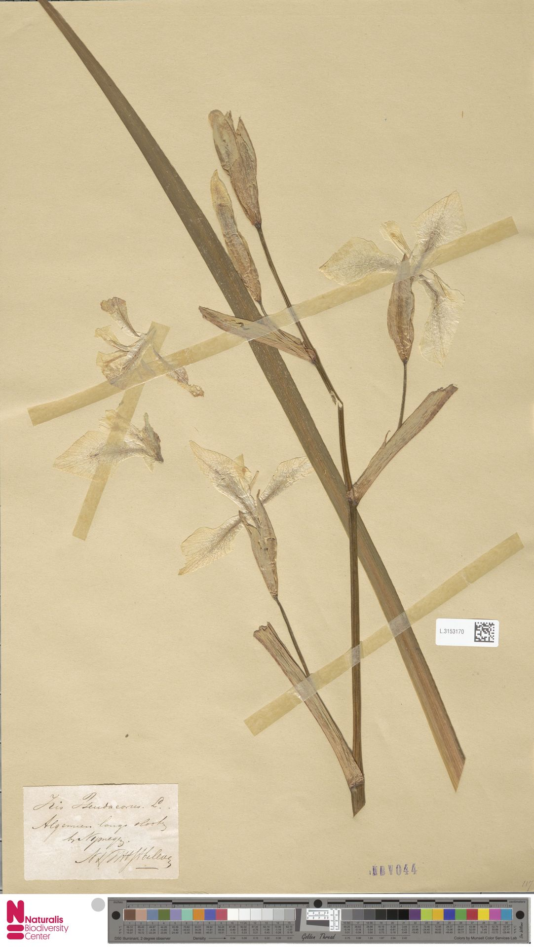L.3153170 | Iris pseudacorus L.