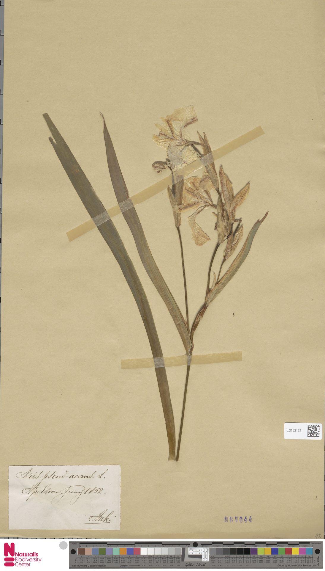 L.3153172 | Iris pseudacorus L.