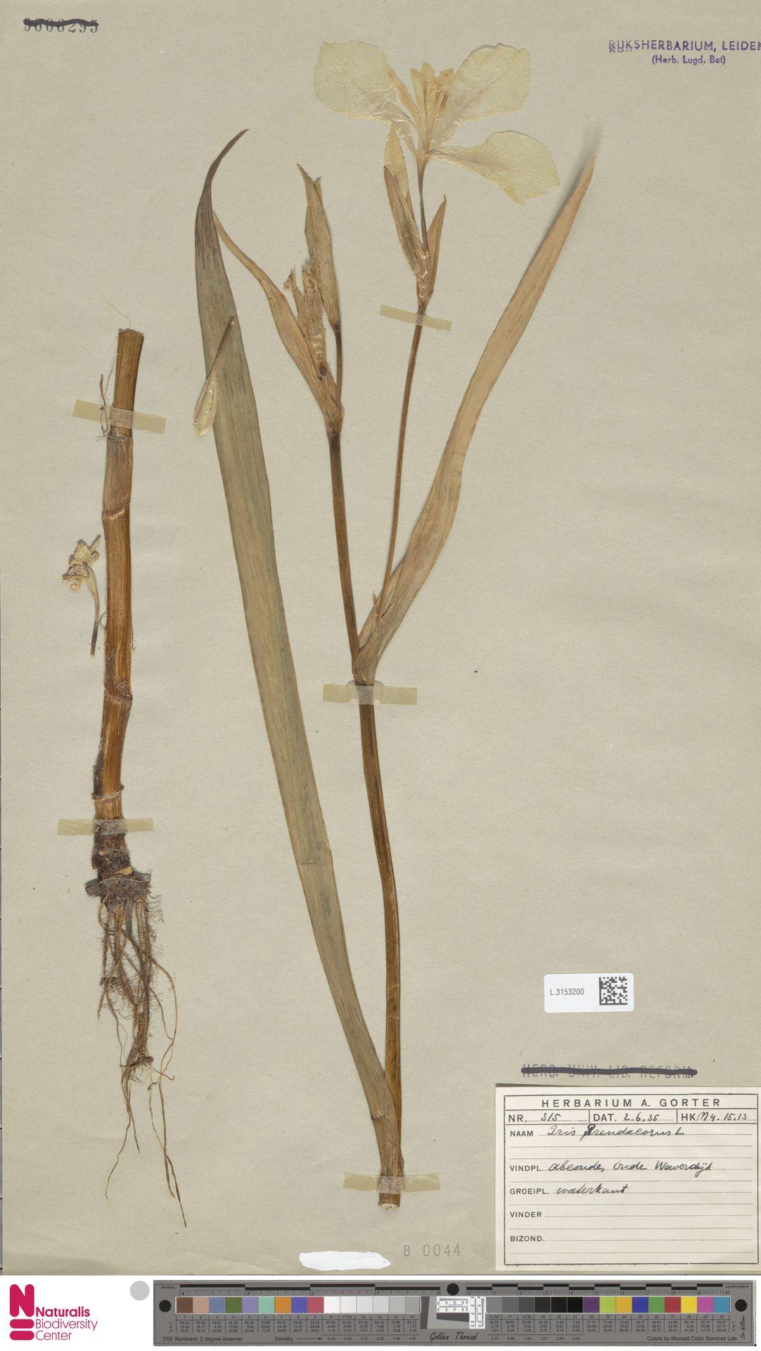 L.3153200 | Iris pseudacorus L.