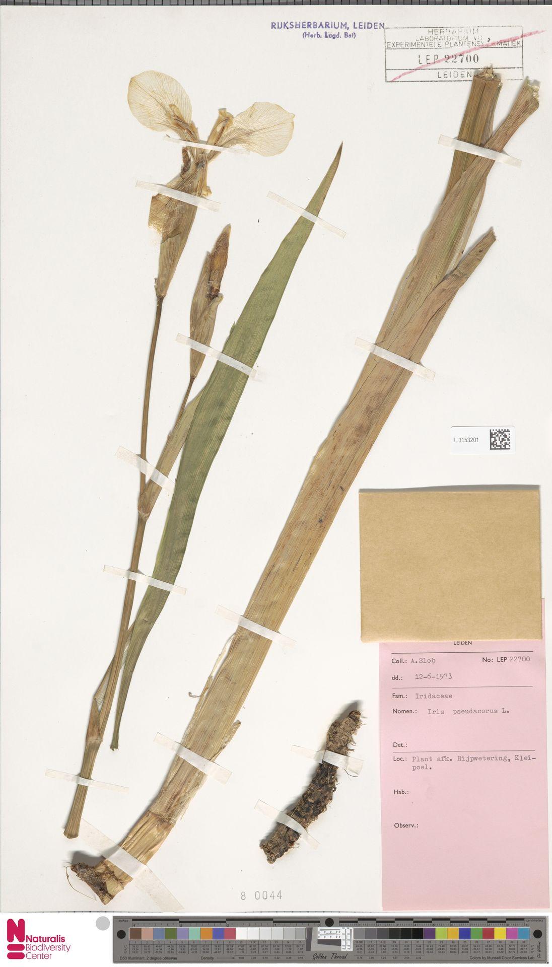 L.3153201 | Iris pseudacorus L.