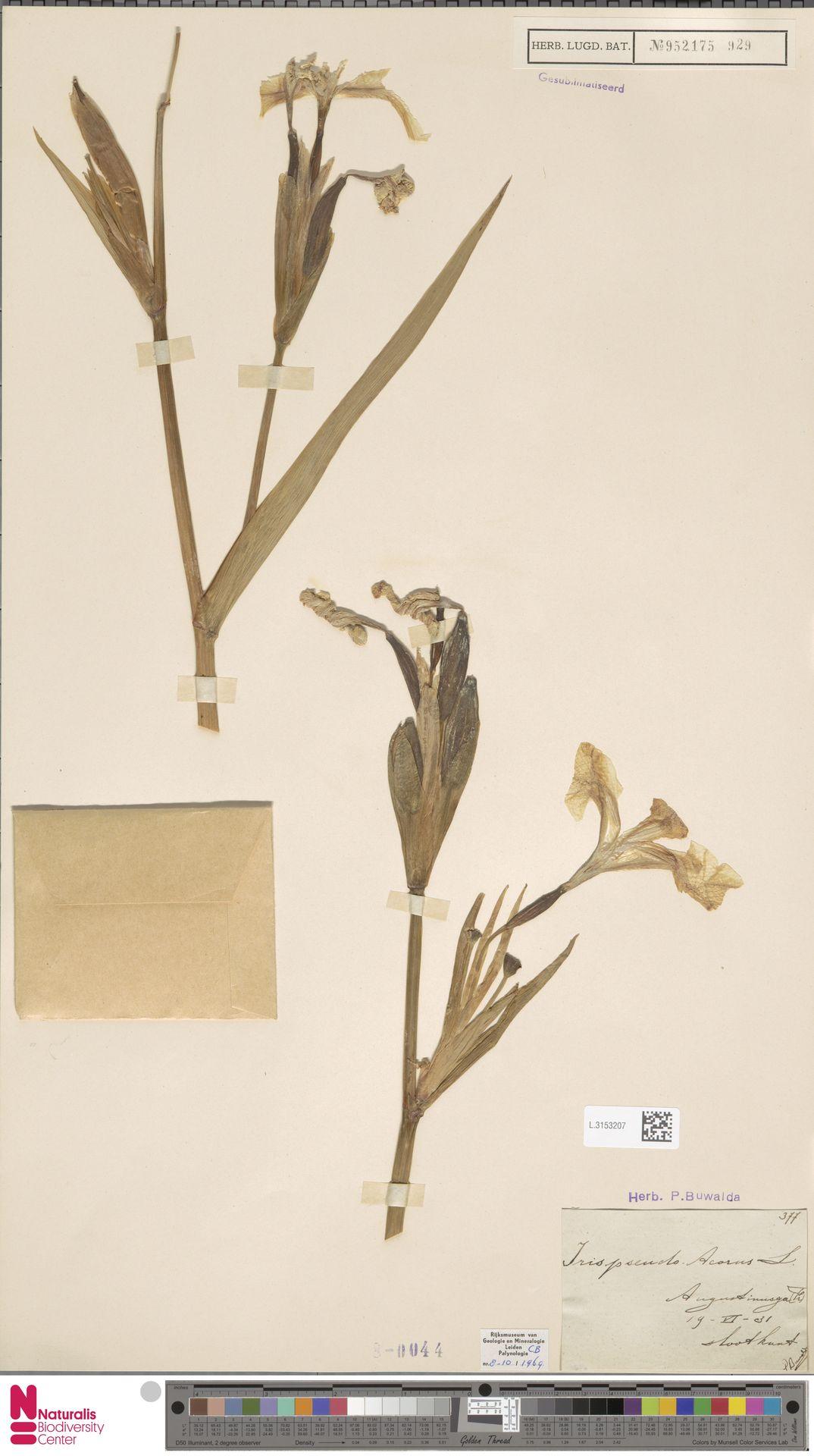 L.3153207 | Iris pseudacorus L.