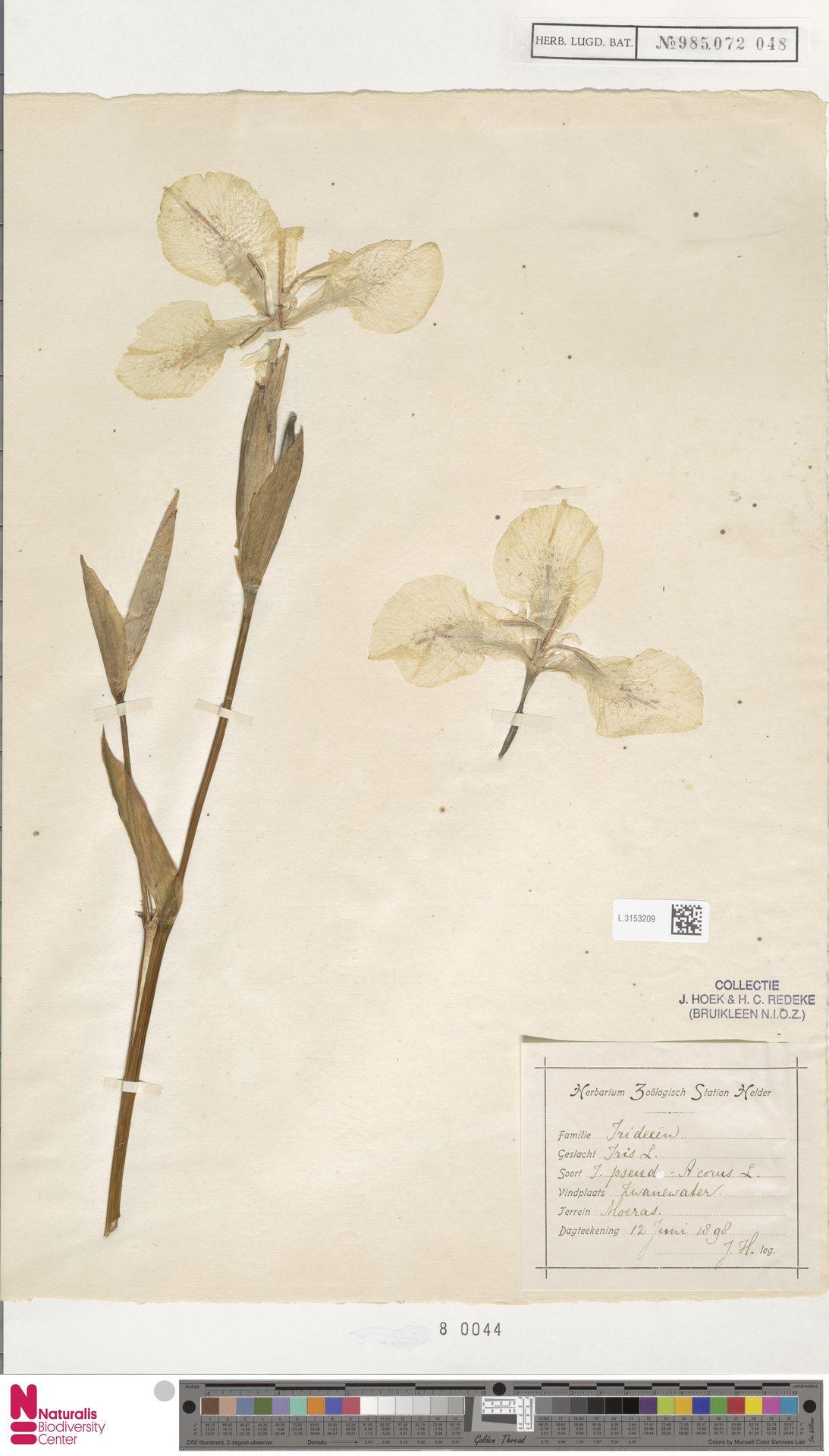 L.3153209 | Iris pseudacorus L.