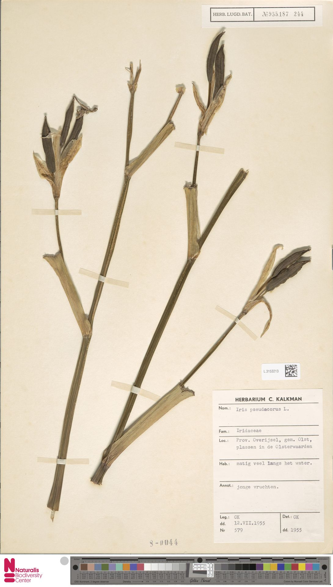 L.3153213 | Iris pseudacorus L.