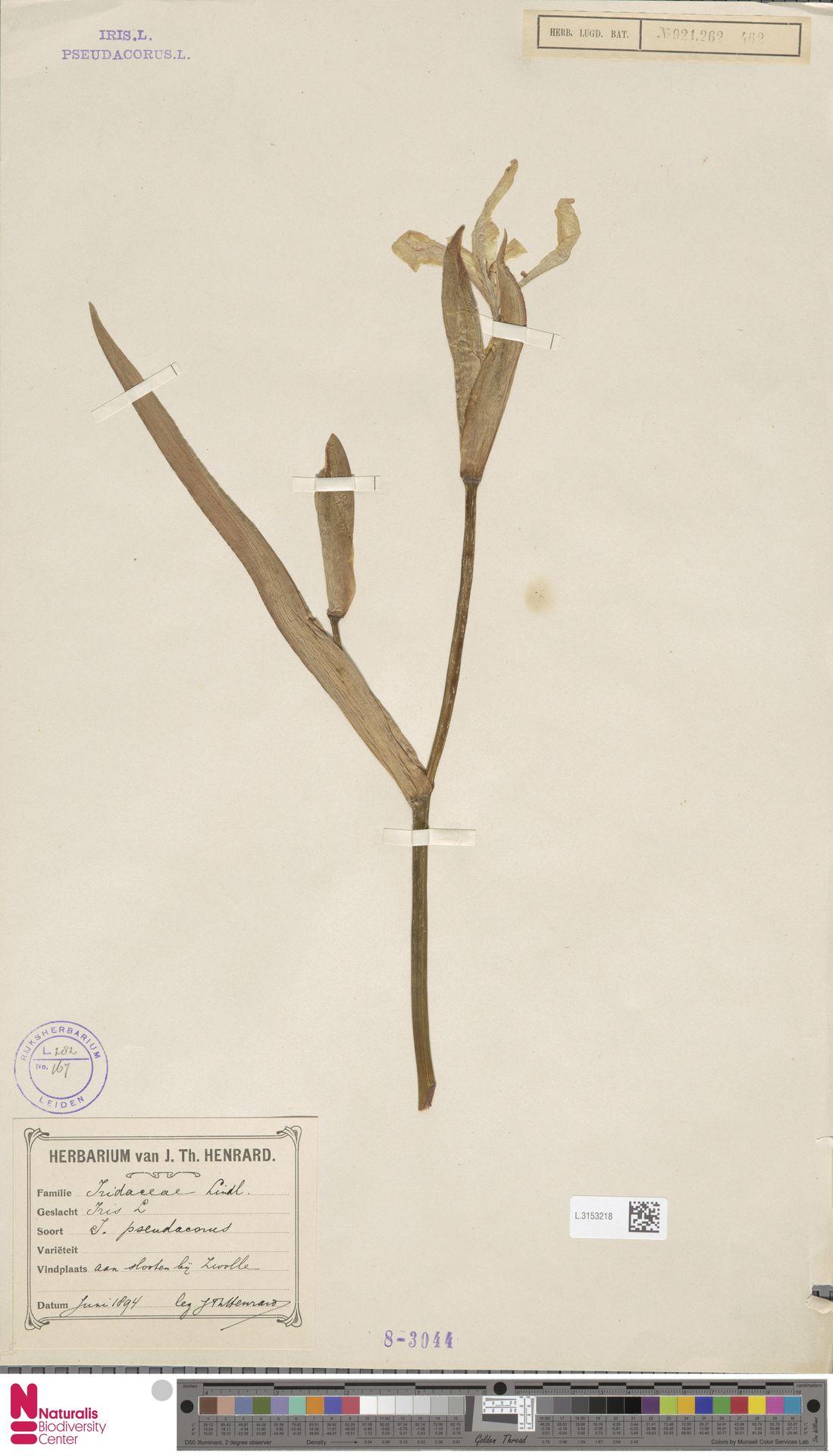 L.3153218 | Iris pseudacorus L.