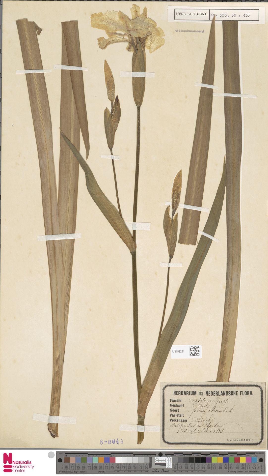 L.3153221 | Iris pseudacorus L.