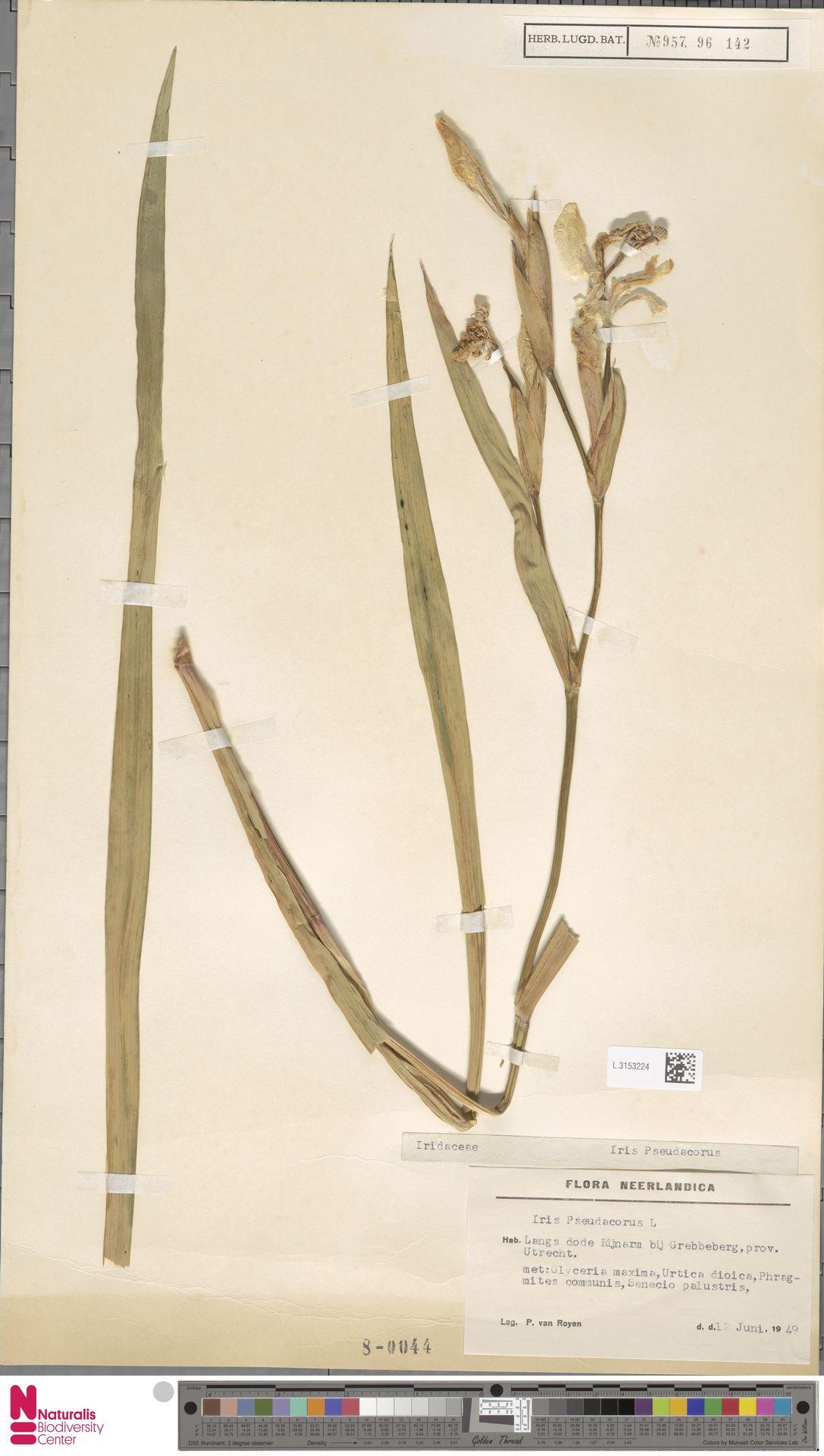 L.3153224 | Iris pseudacorus L.