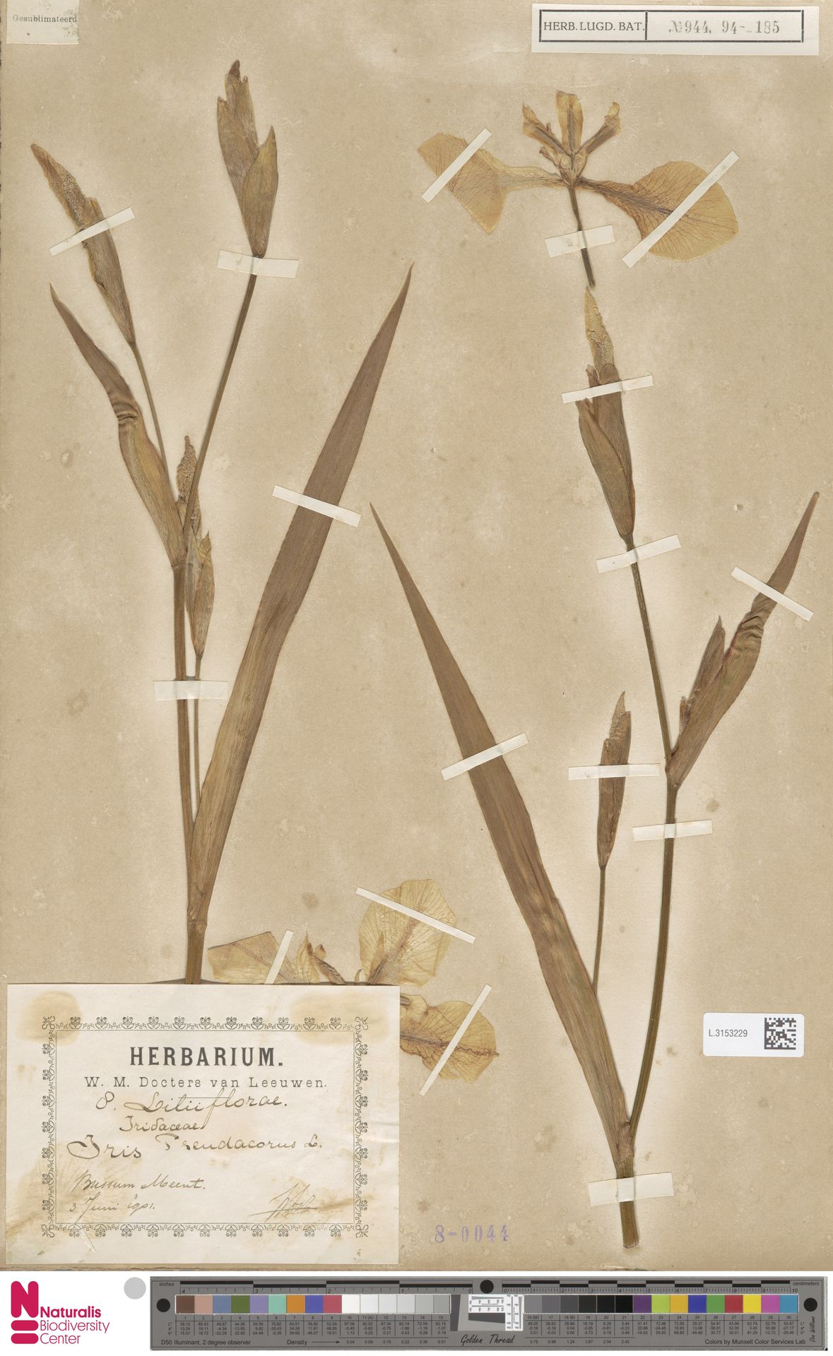 L.3153229 | Iris pseudacorus L.