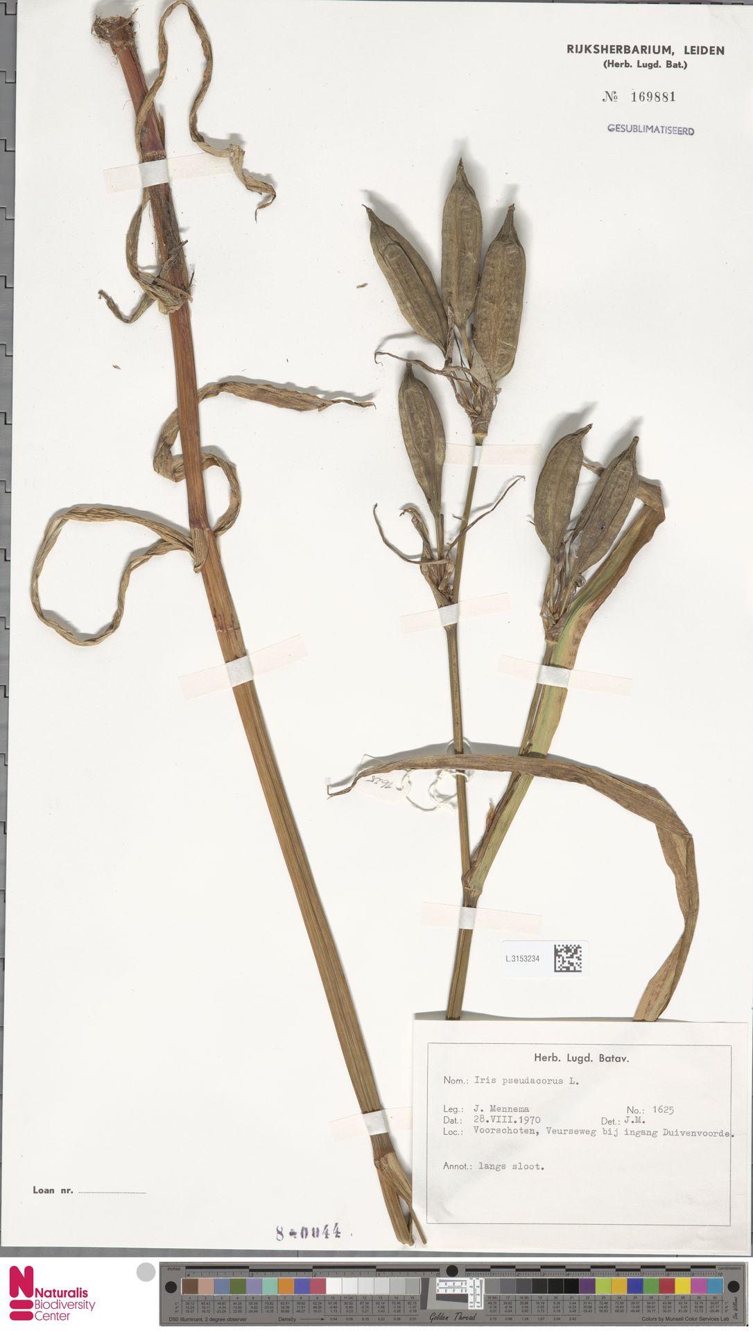 L.3153234 | Iris pseudacorus L.