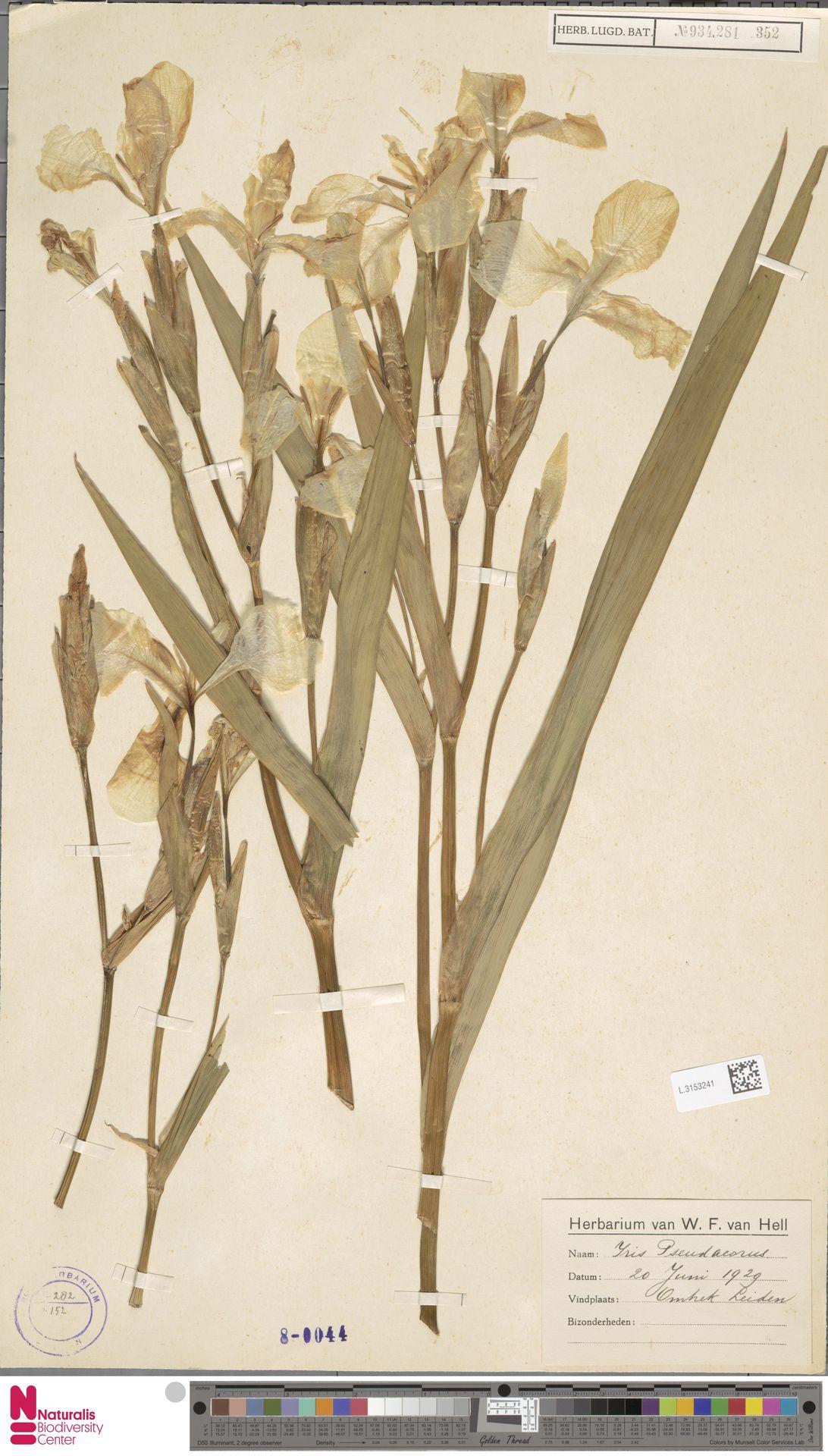 L.3153241 | Iris pseudacorus L.