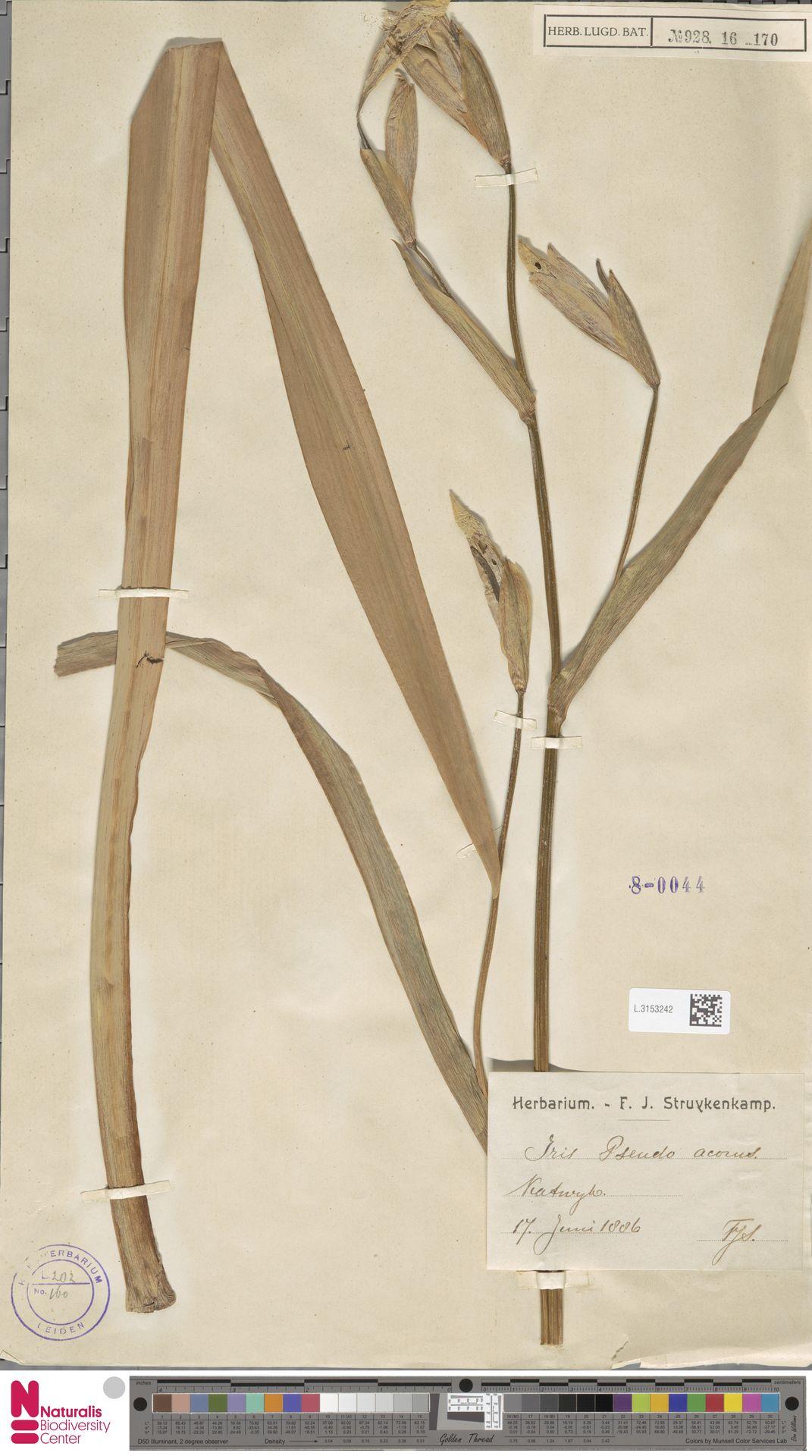 L.3153242 | Iris pseudacorus L.