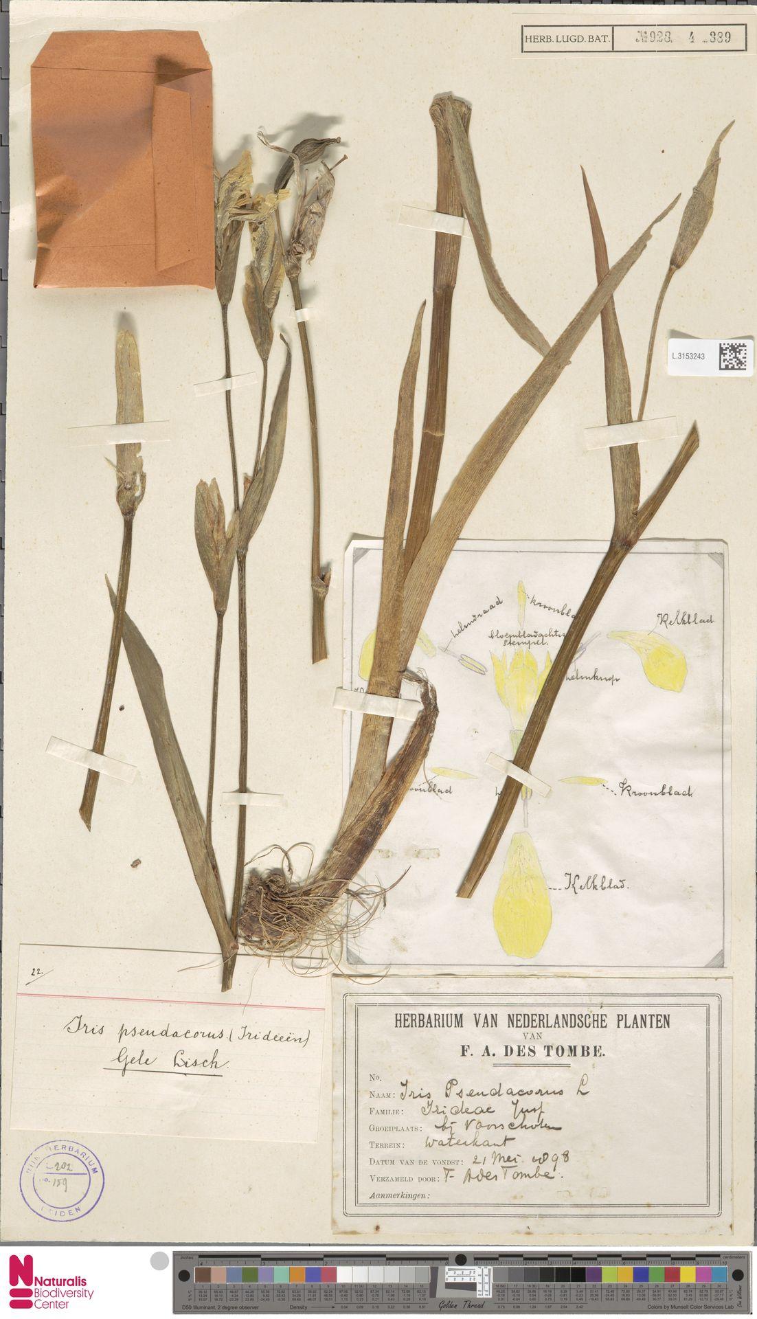 L.3153243 | Iris pseudacorus L.