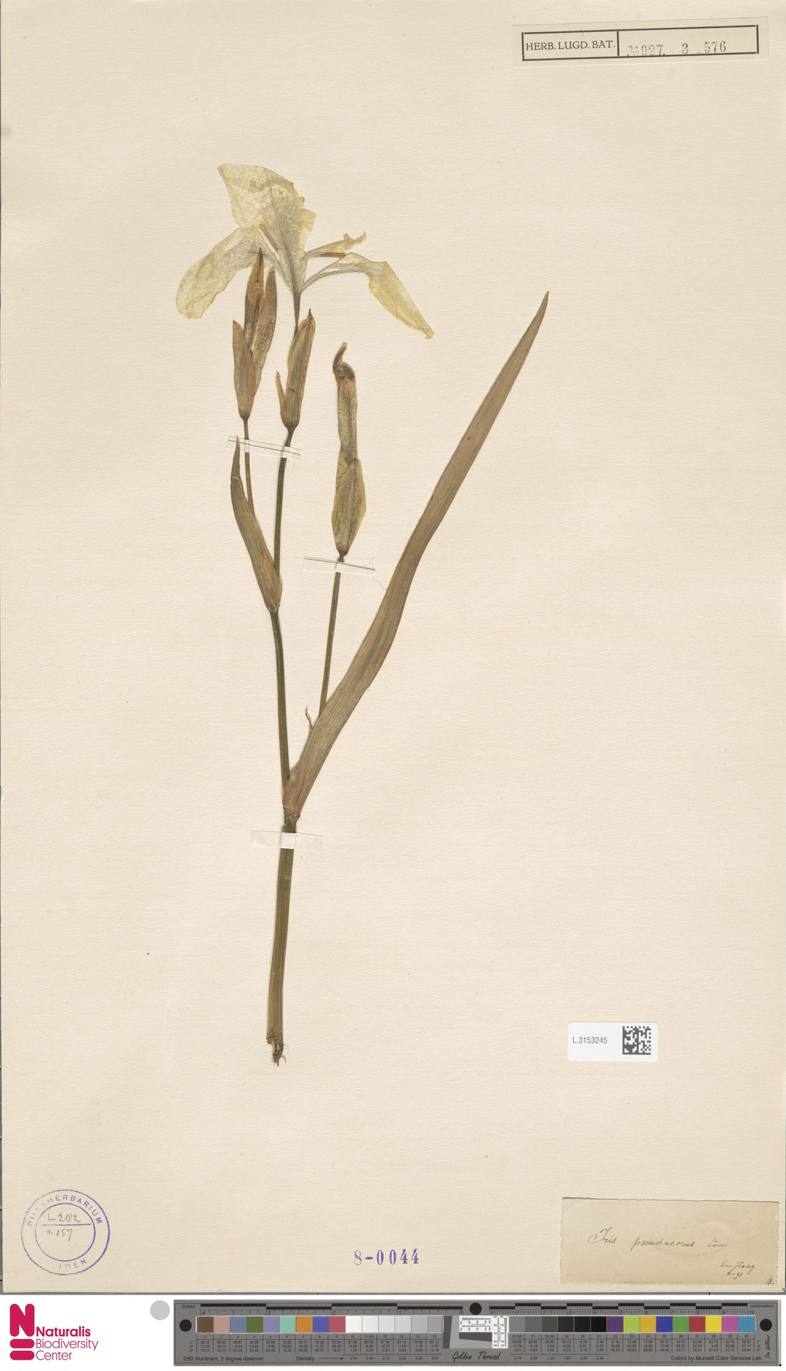 L.3153245 | Iris pseudacorus L.