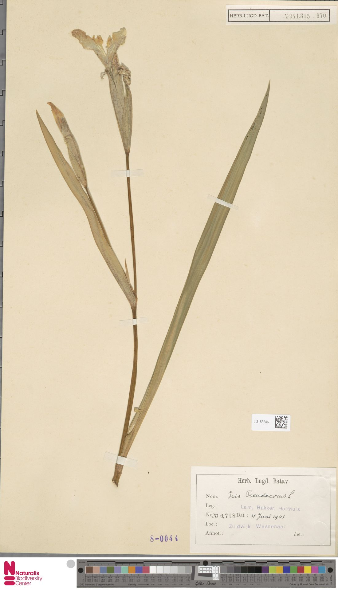 L.3153246 | Iris pseudacorus L.