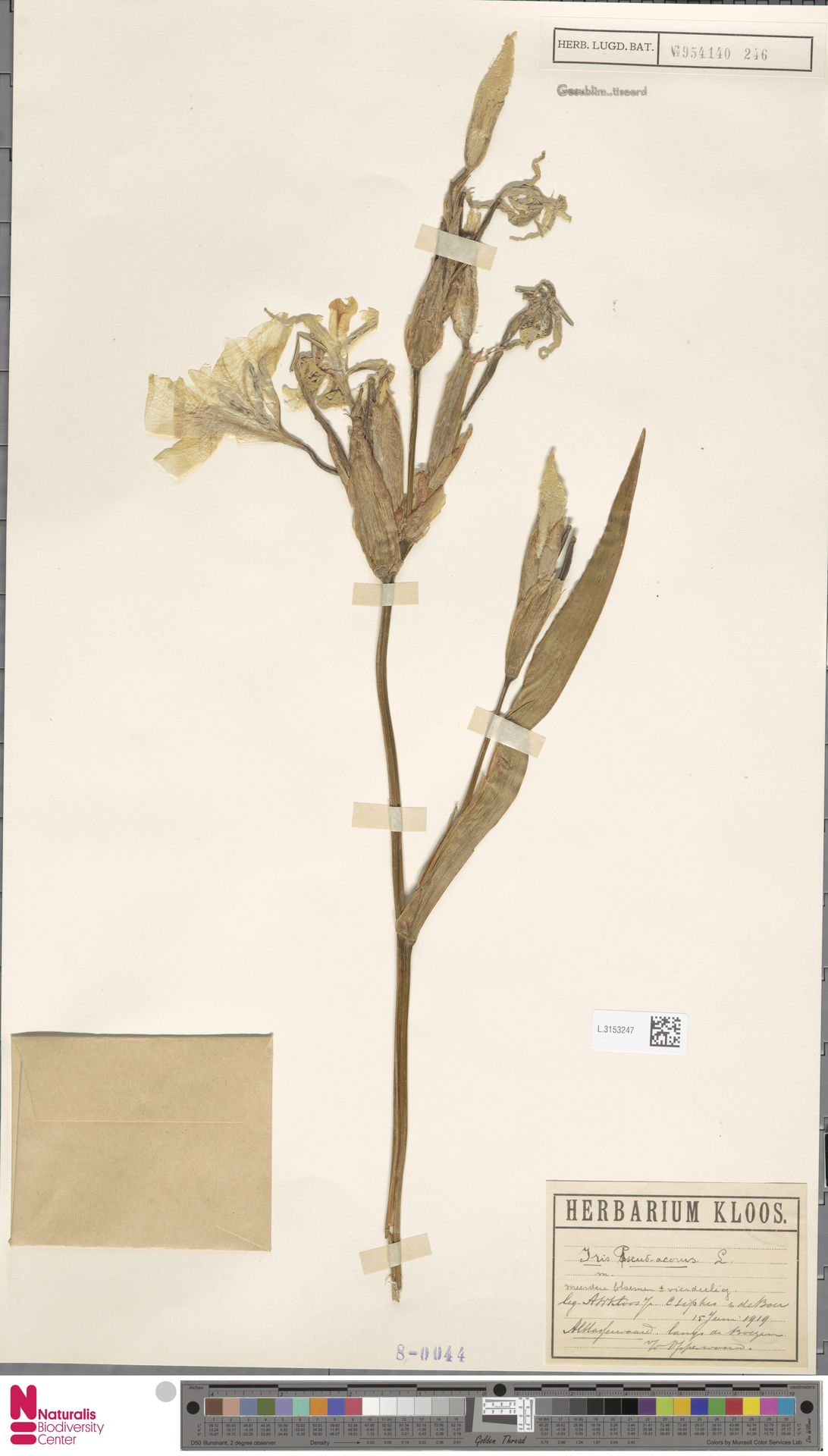L.3153247 | Iris pseudacorus L.