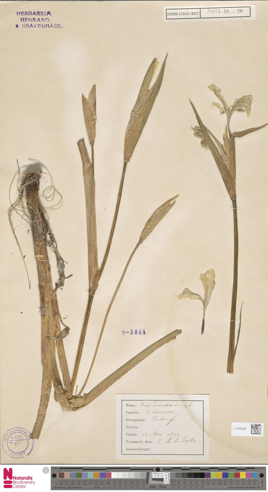 L.3153249 | Iris pseudacorus L.