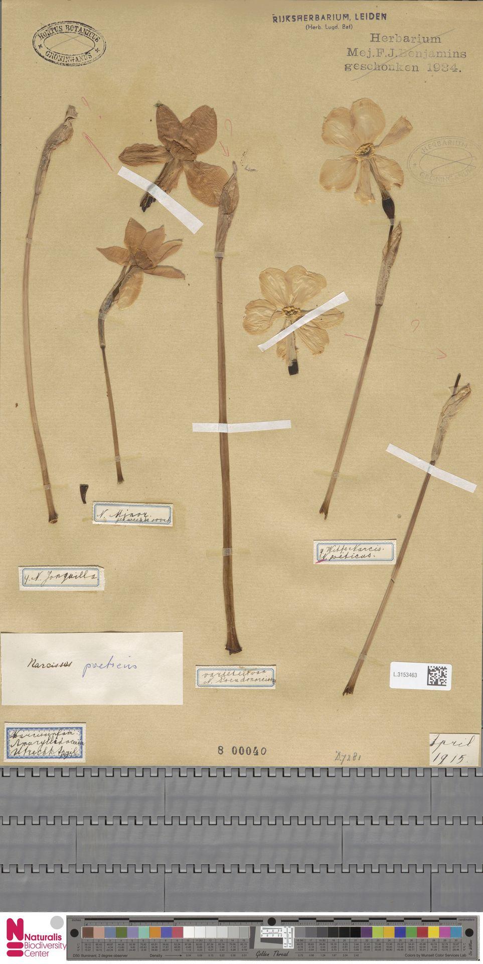 L.3153463 | Narcissus poeticus L.