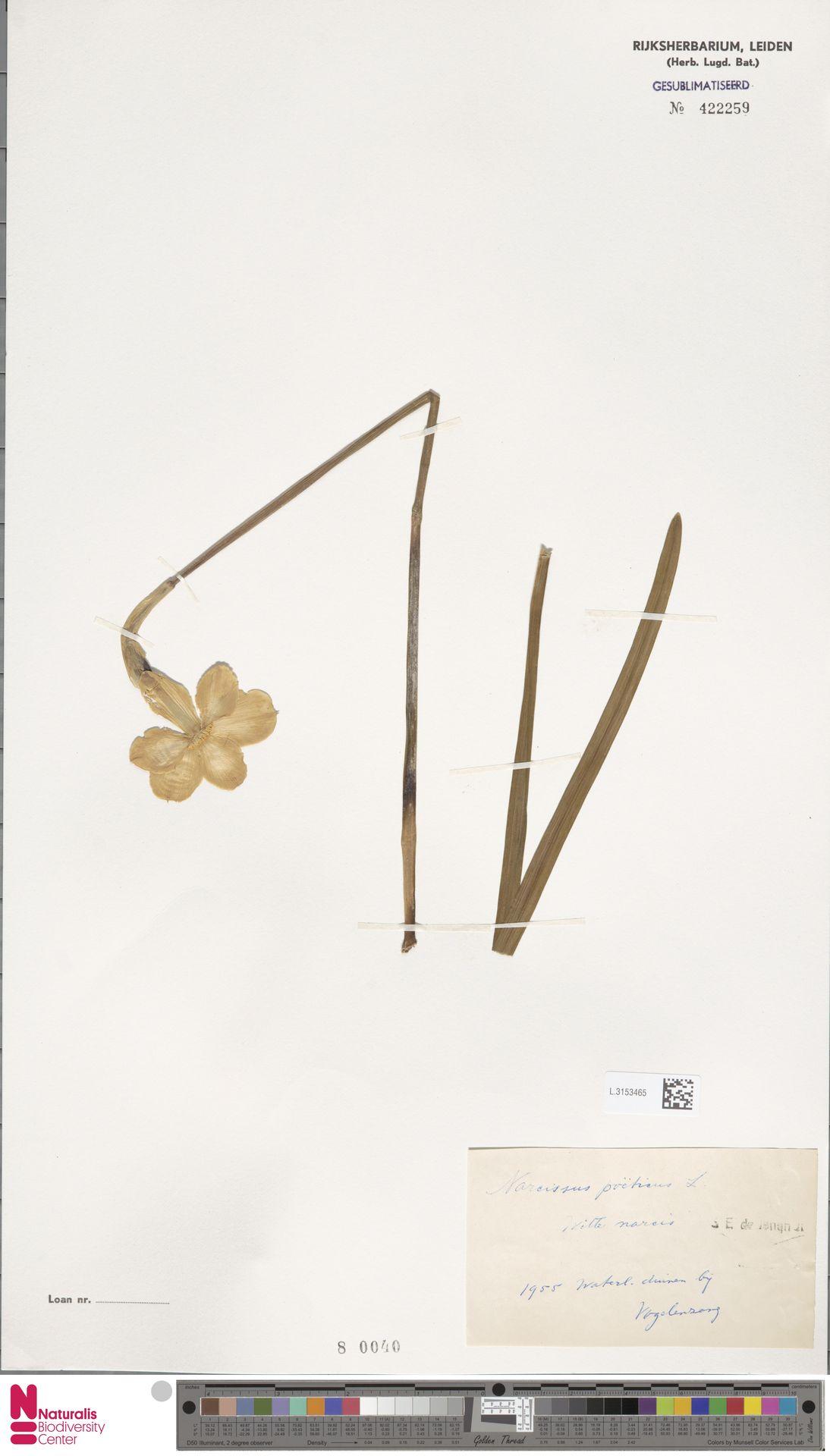 L.3153465 | Narcissus poeticus L.