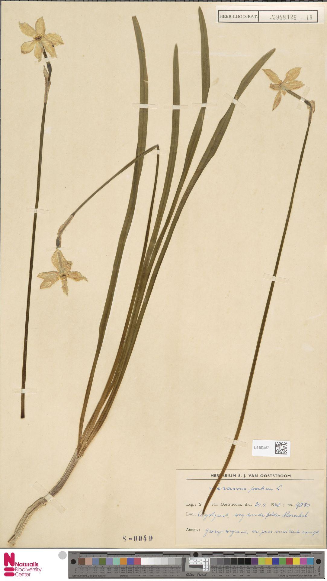 L.3153467 | Narcissus poeticus L.