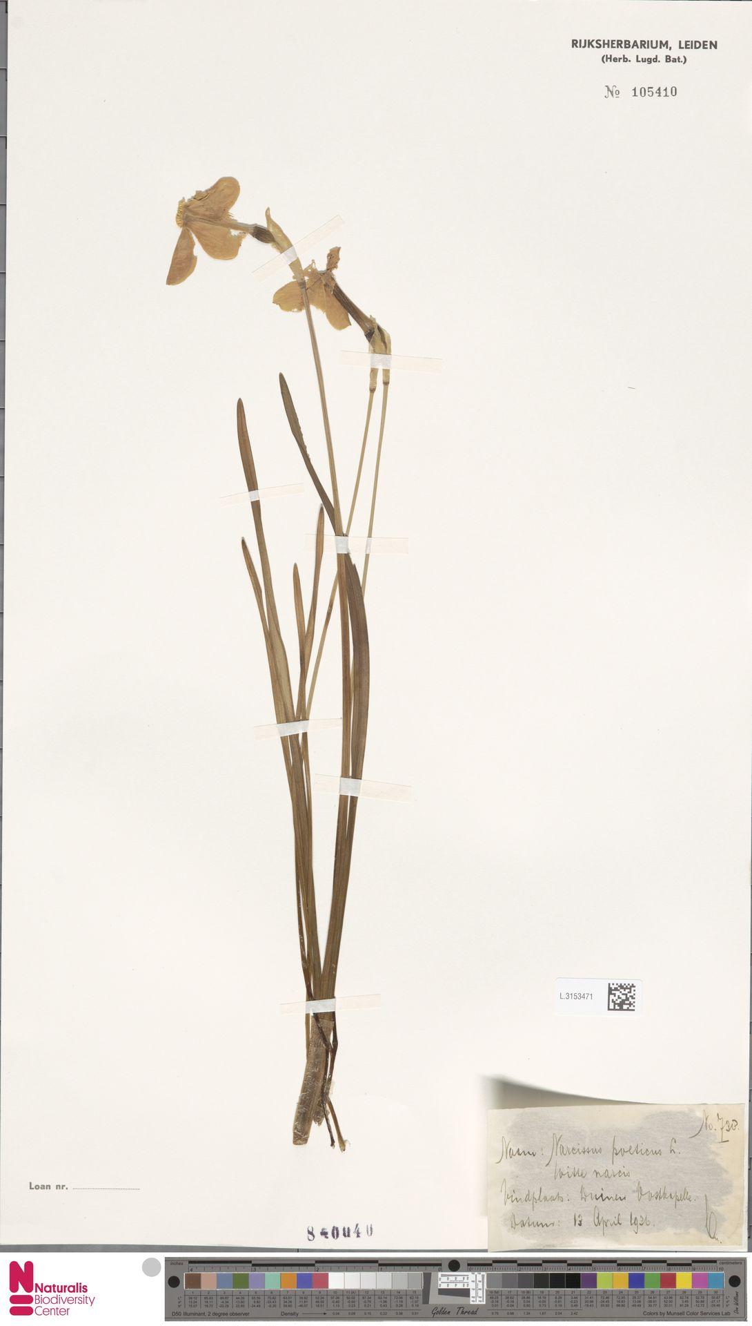 L.3153471 | Narcissus poeticus L.