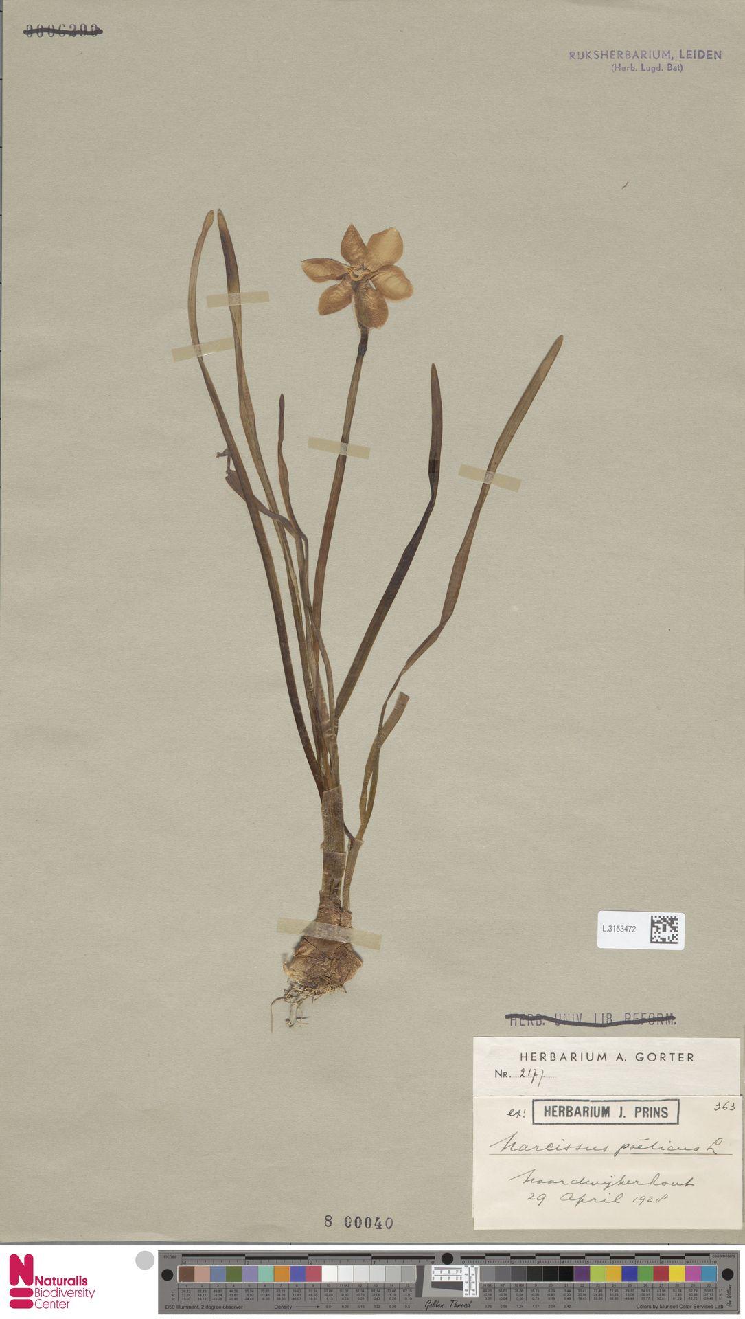 L.3153472 | Narcissus poeticus L.