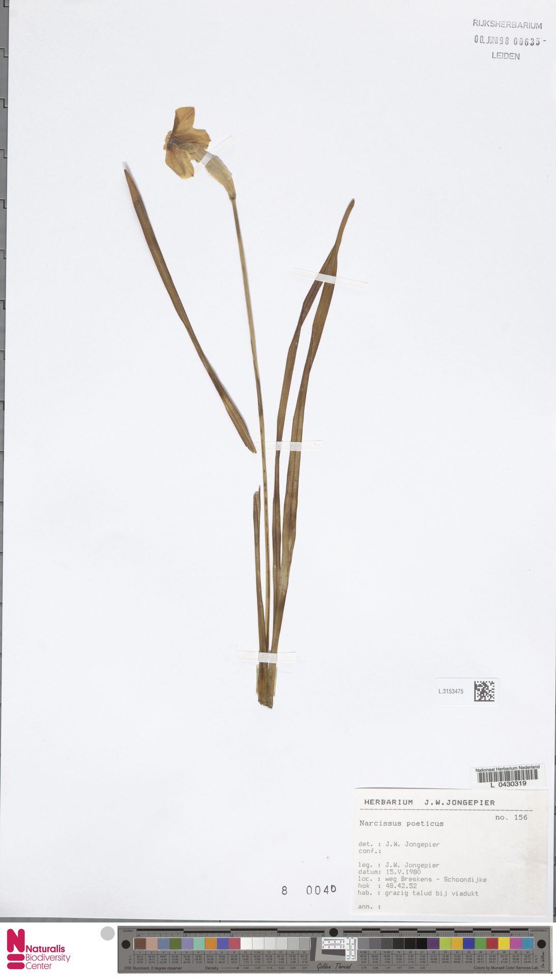 L.3153475 | Narcissus poeticus L.