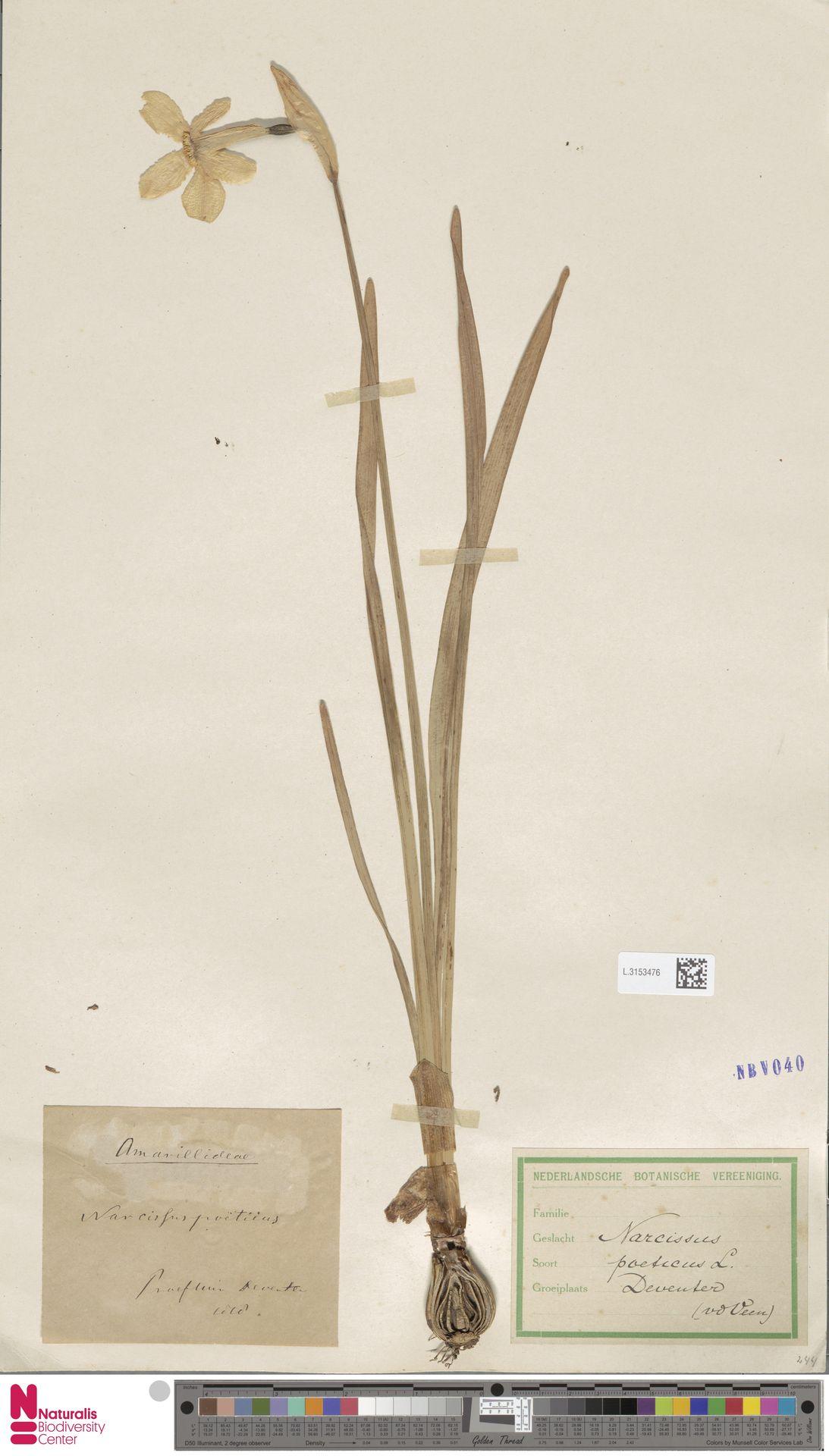 L.3153476 | Narcissus poeticus L.