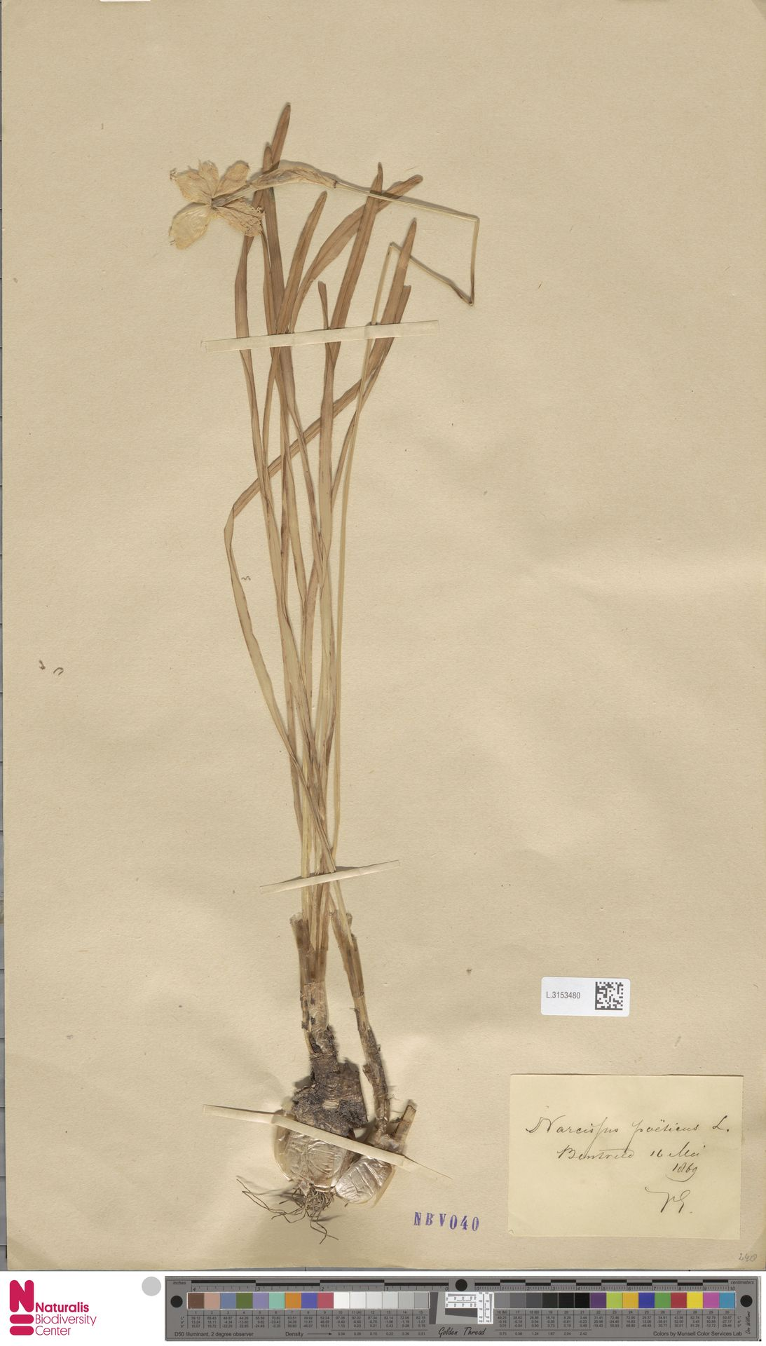 L.3153480 | Narcissus poeticus L.