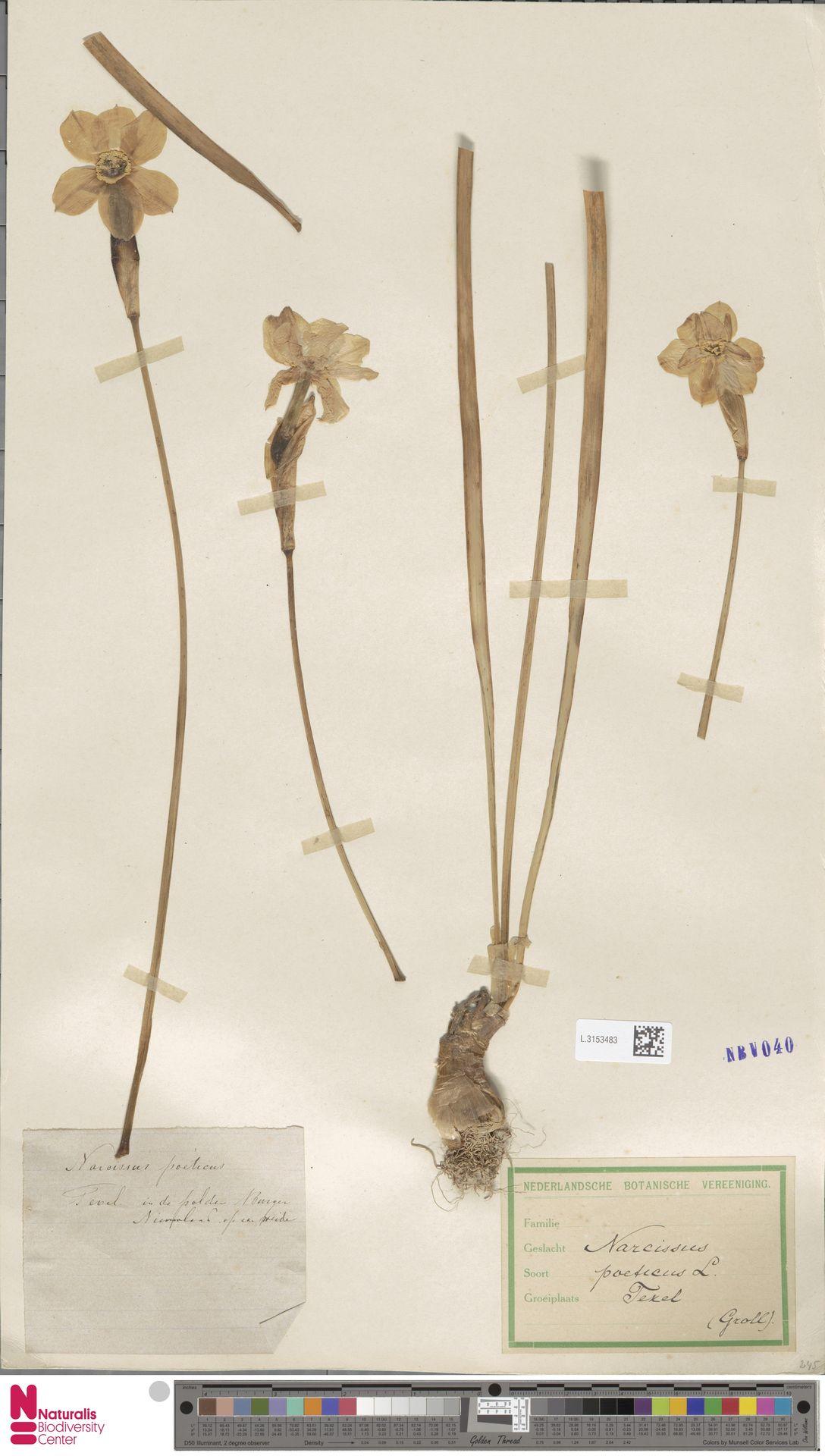 L.3153483 | Narcissus poeticus L.