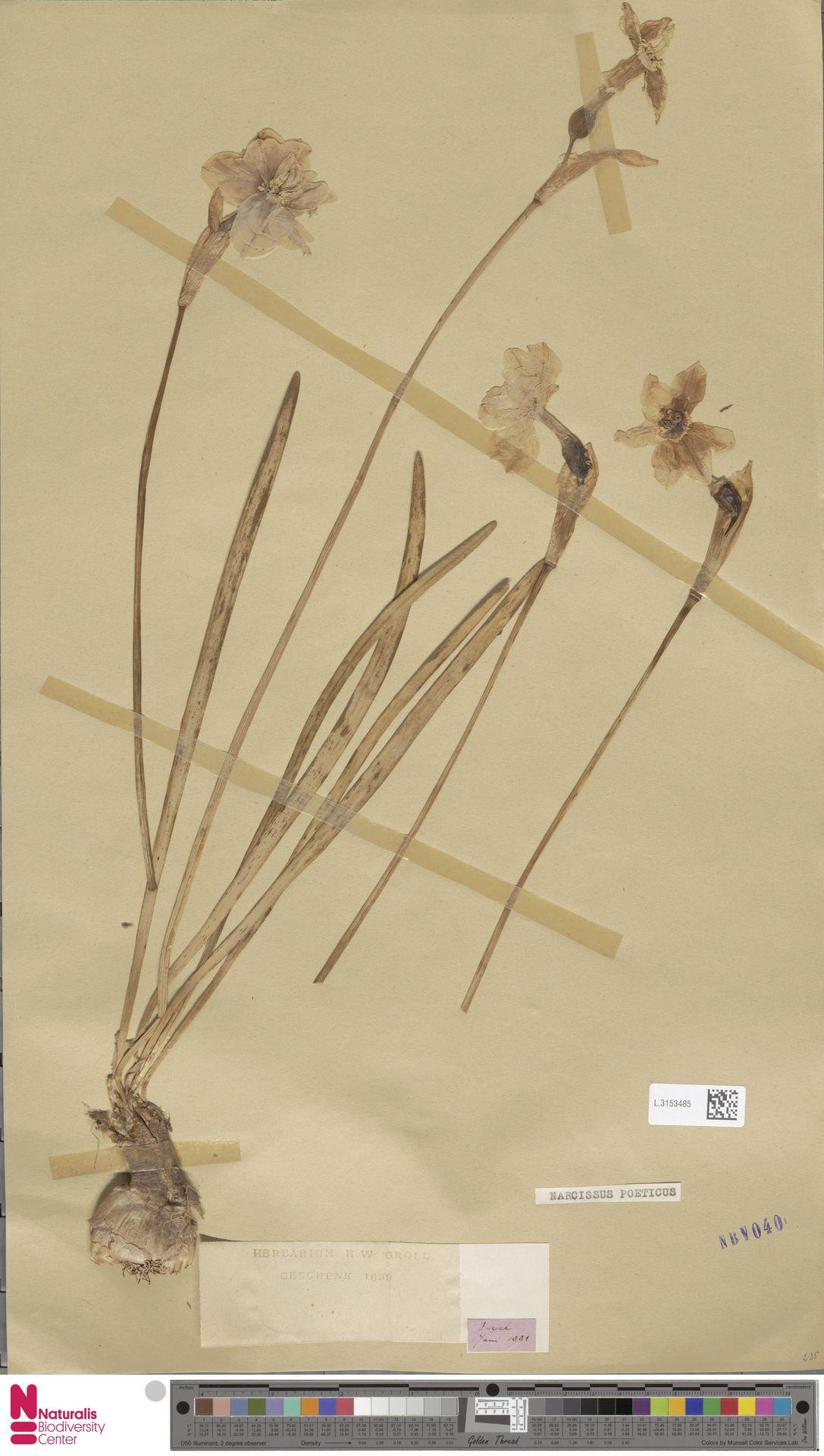 L.3153485 | Narcissus poeticus L.