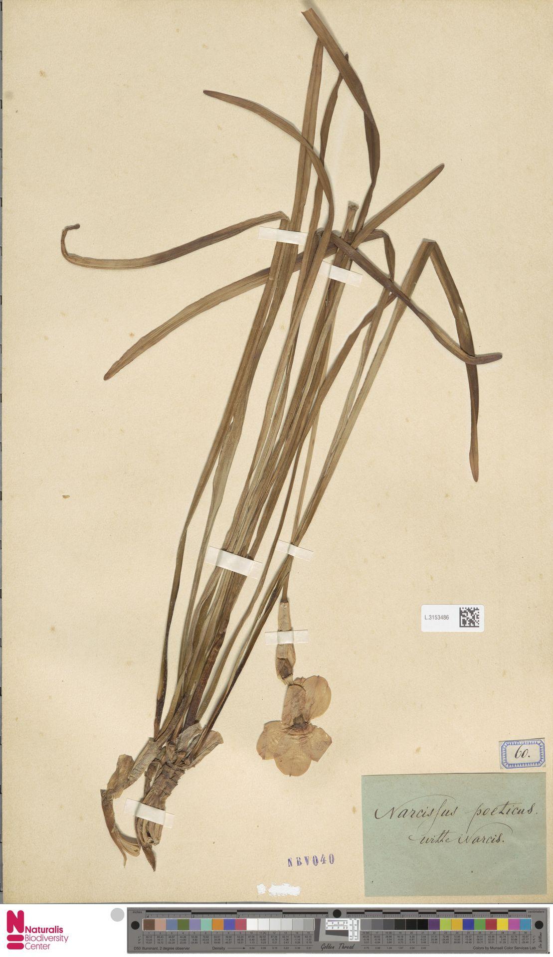 L.3153486 | Narcissus poeticus L.