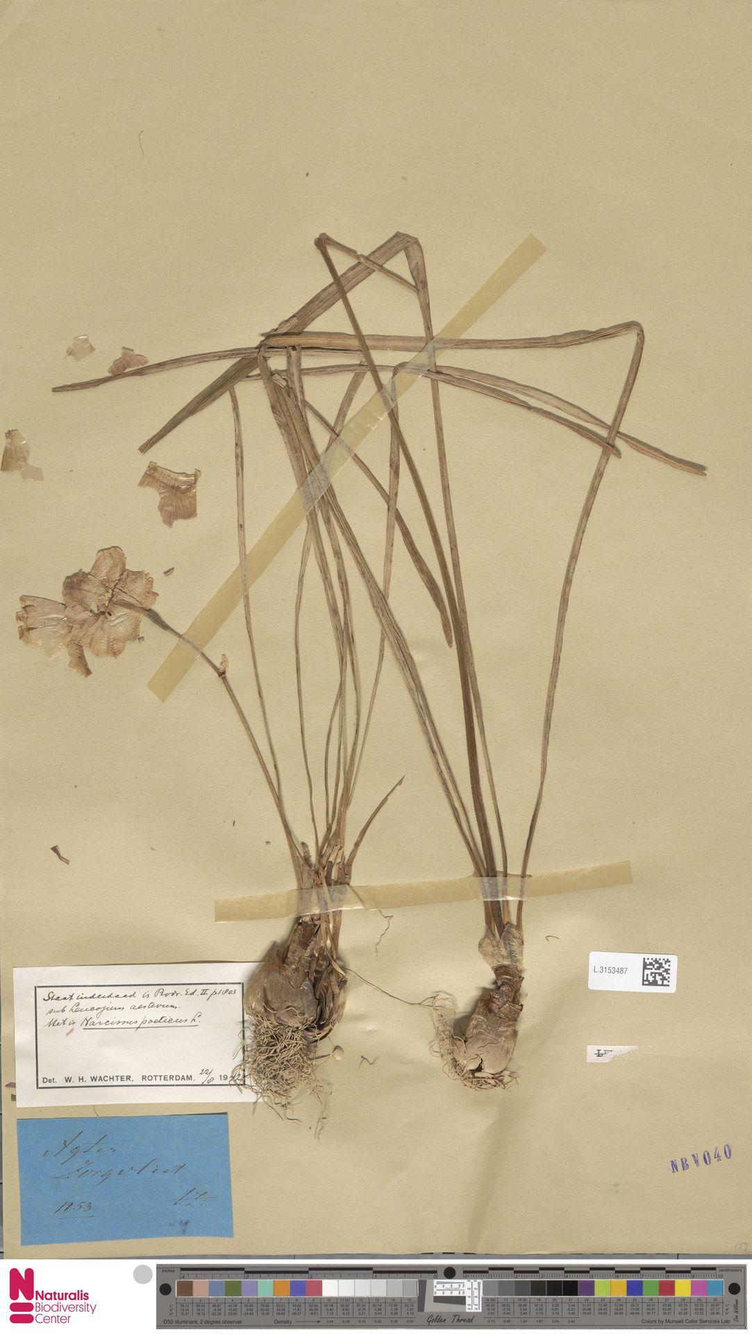 L.3153487 | Narcissus poeticus L.