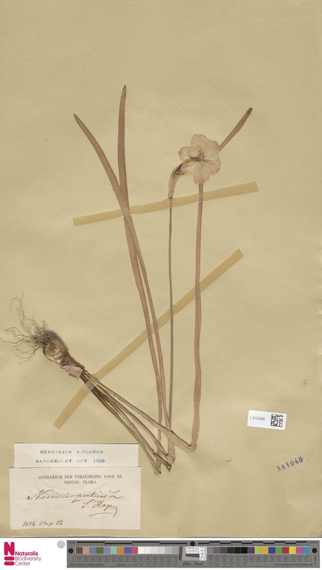 L.3153489 | Narcissus poeticus L.