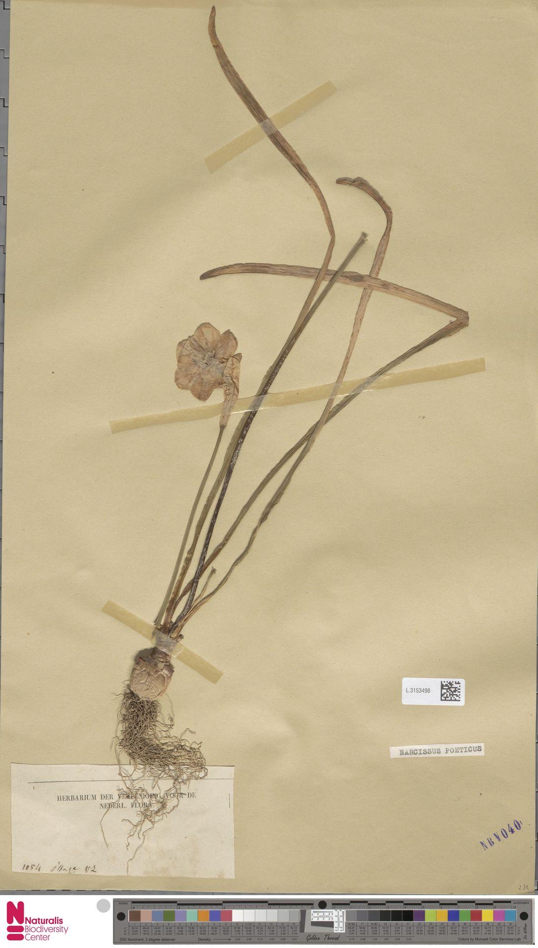 L.3153498 | Narcissus poeticus L.