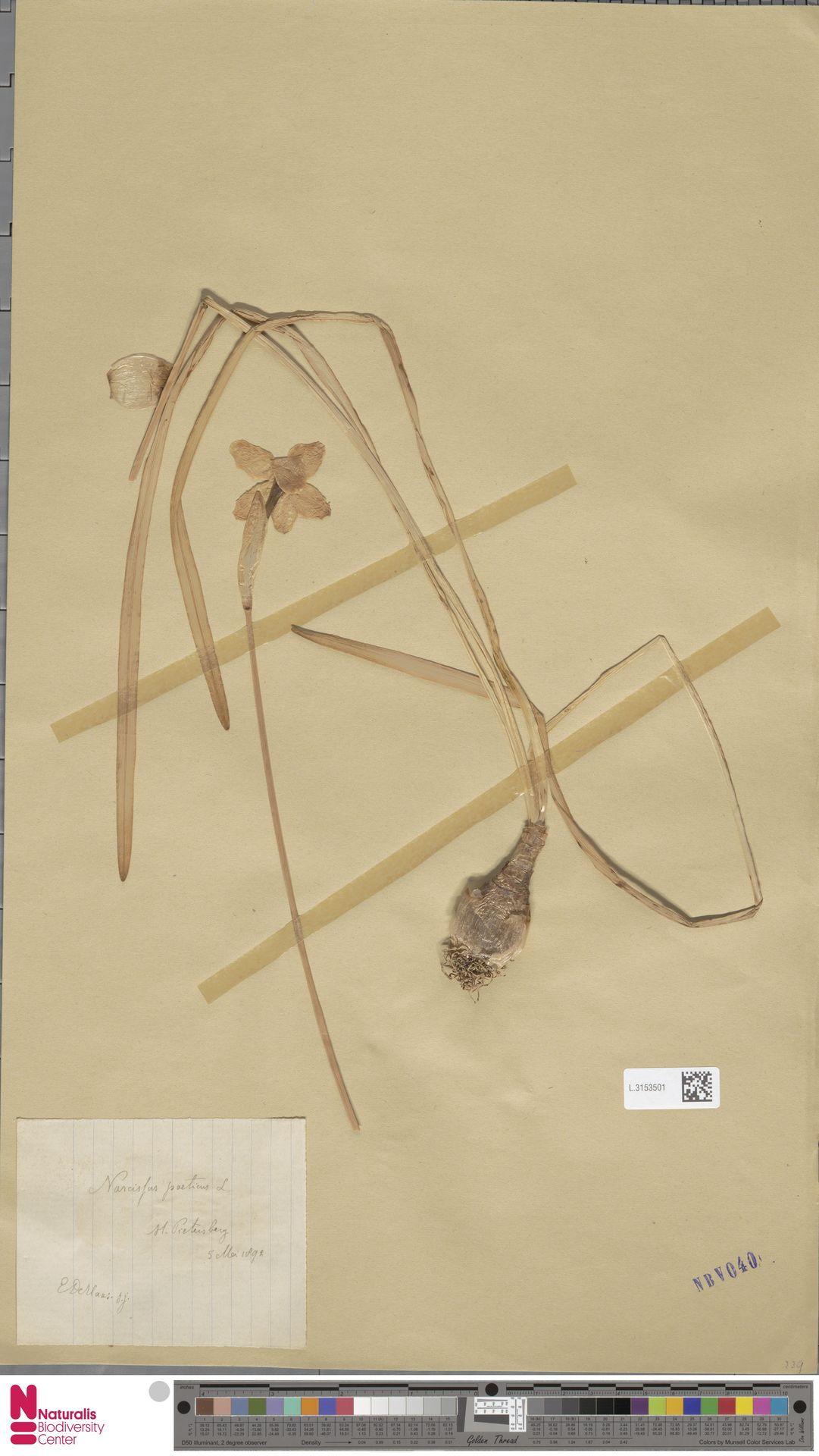 L.3153501 | Narcissus poeticus L.