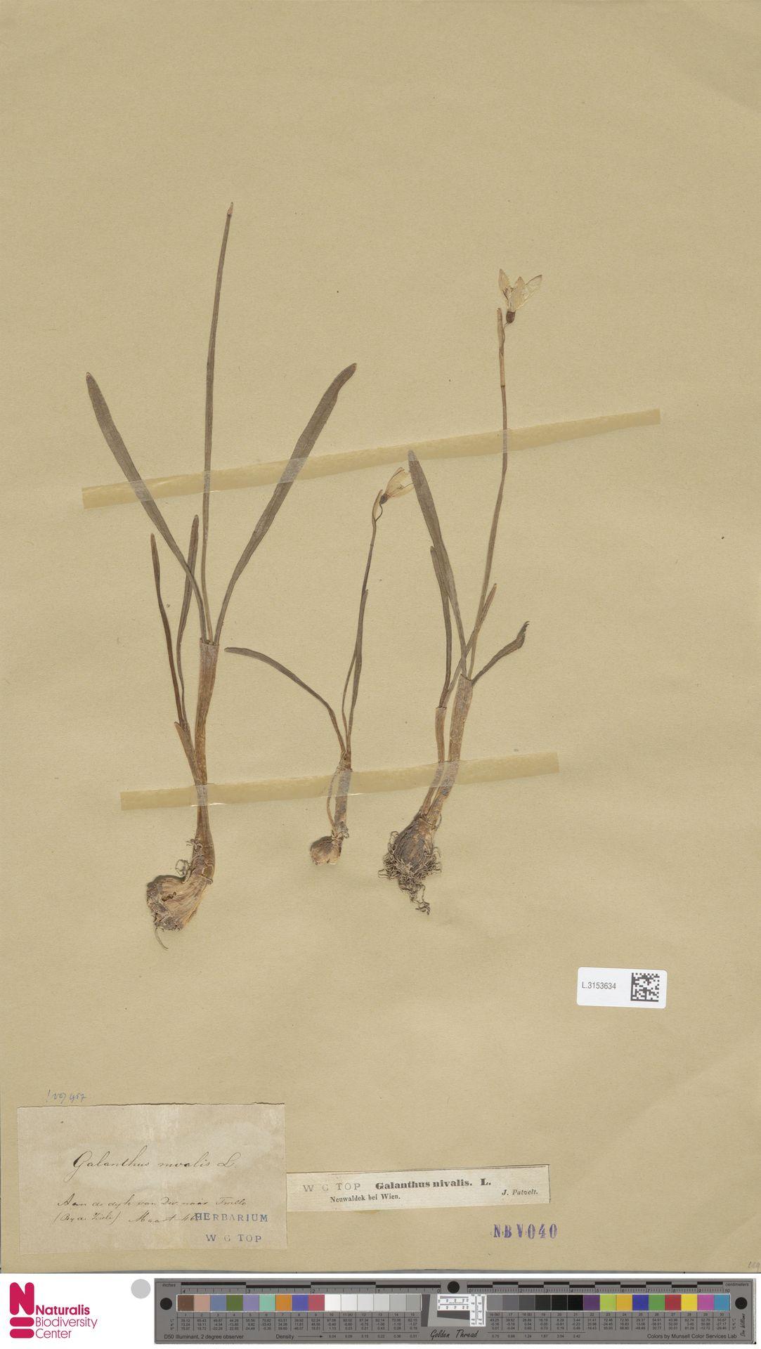 L.3153634   Galanthus nivalis L.