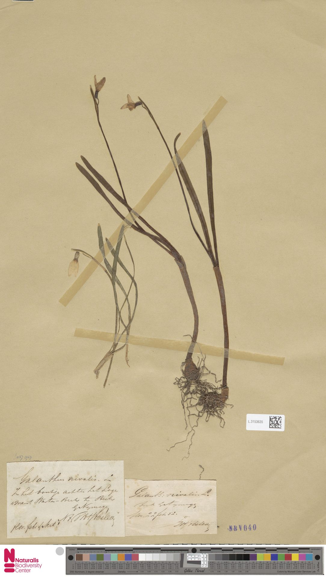 L.3153635 | Galanthus nivalis L.