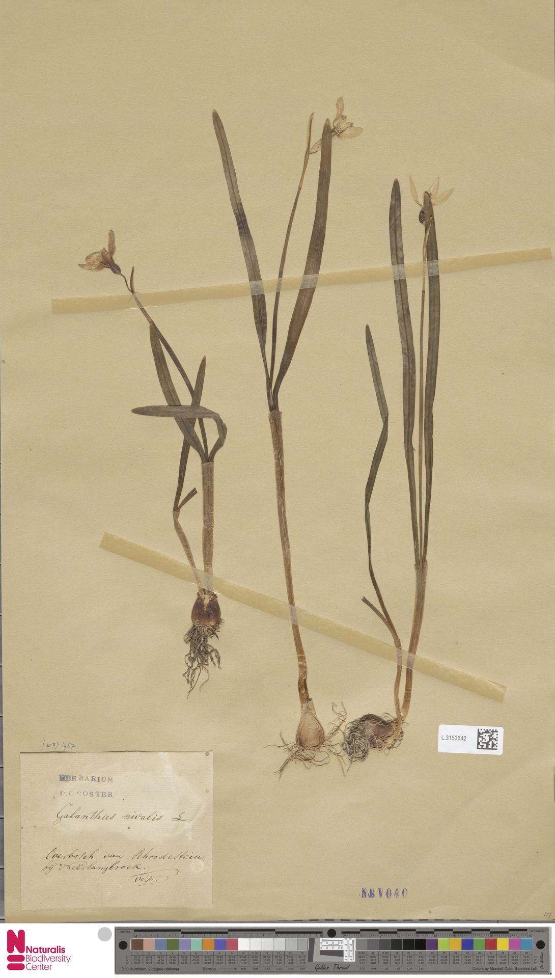 L.3153642   Galanthus nivalis L.