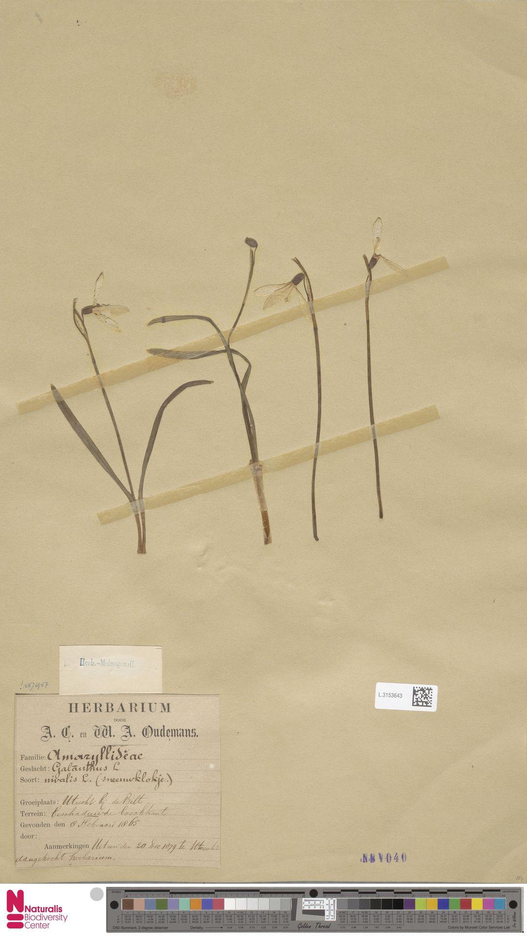 L.3153643 | Galanthus nivalis L.