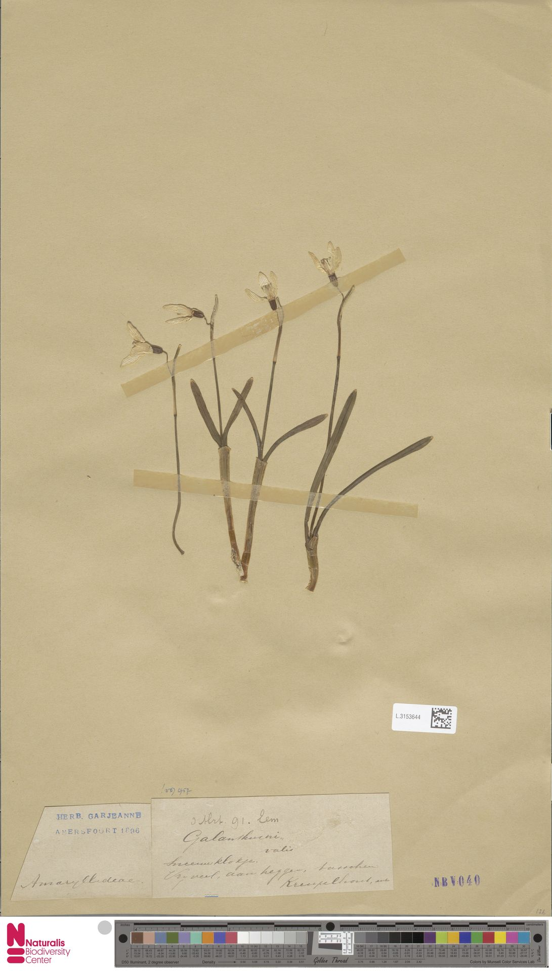 L.3153644 | Galanthus nivalis L.