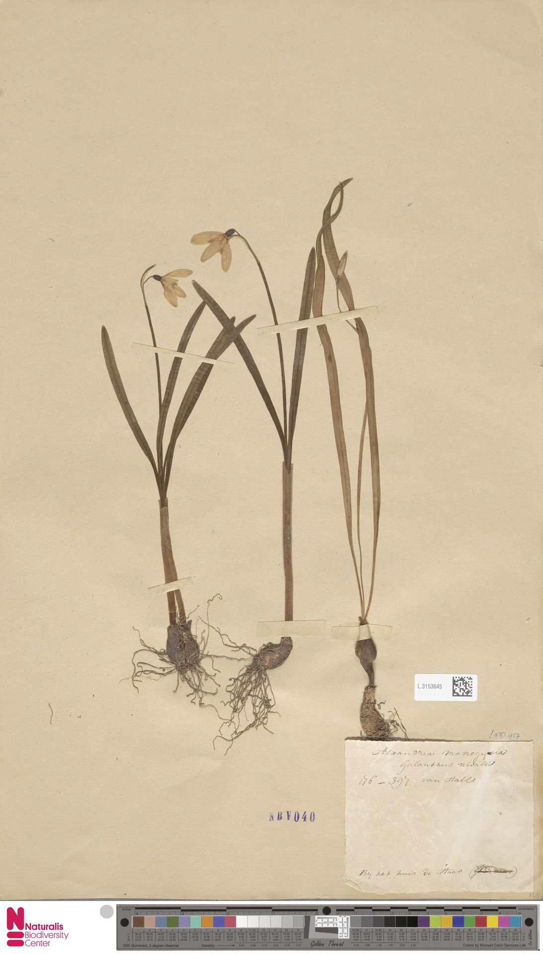L.3153645 | Galanthus nivalis L.
