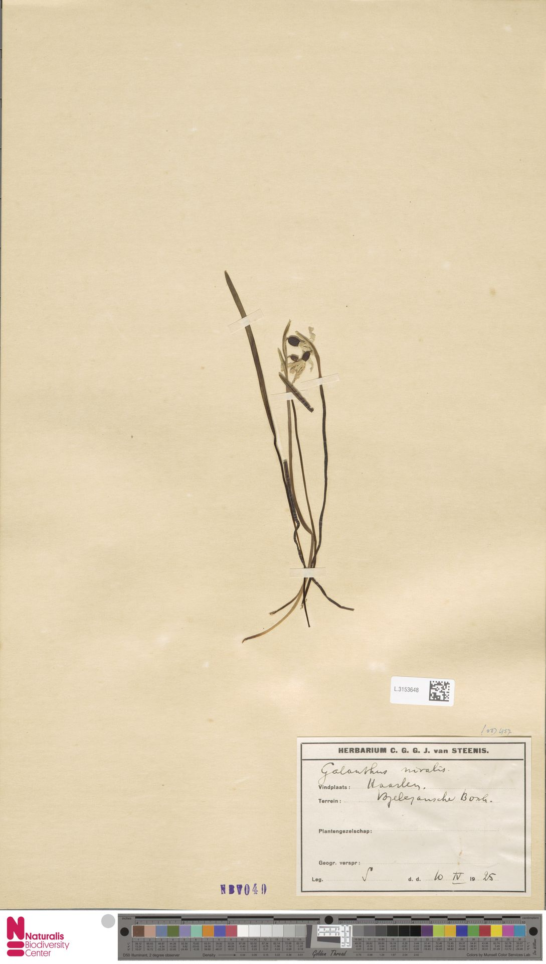 L.3153648 | Galanthus nivalis L.