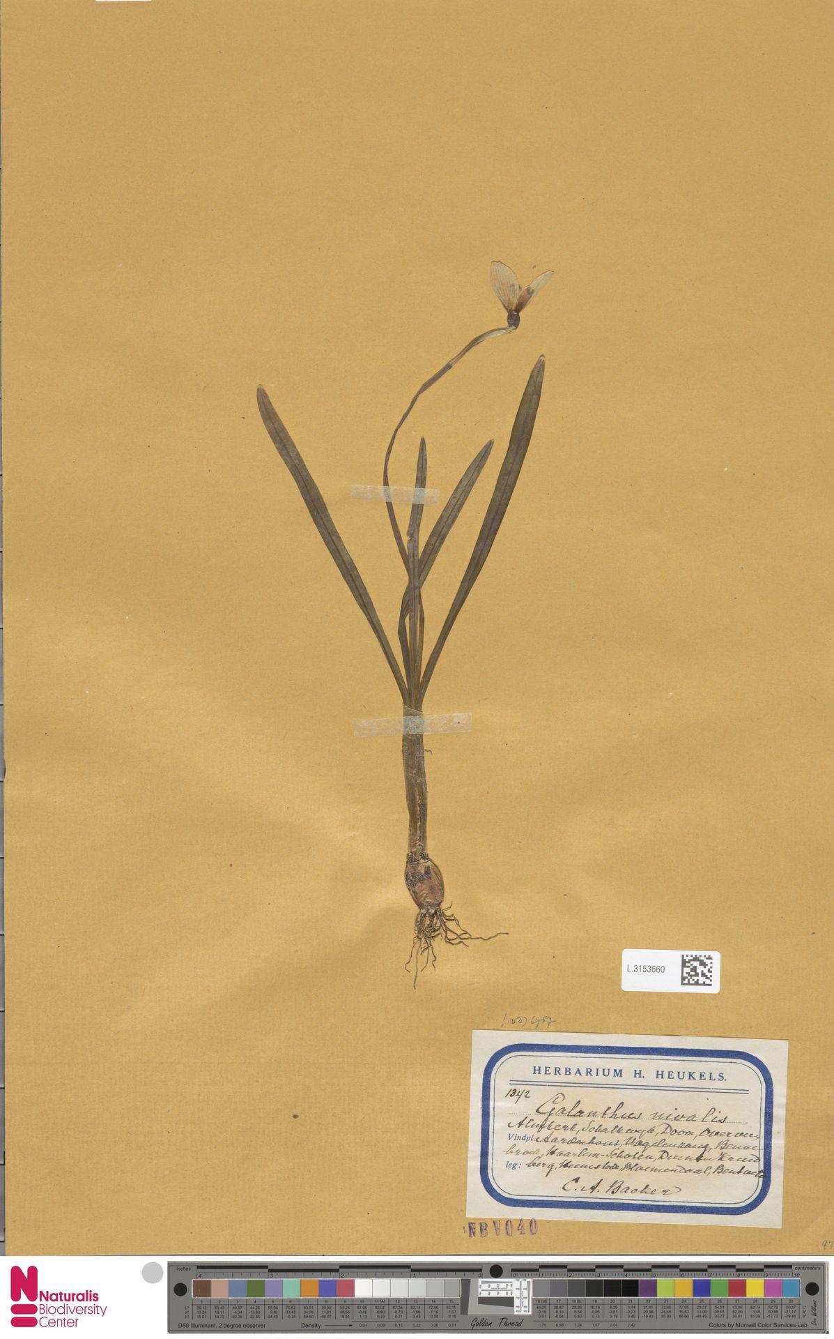 L.3153660 | Galanthus nivalis L.